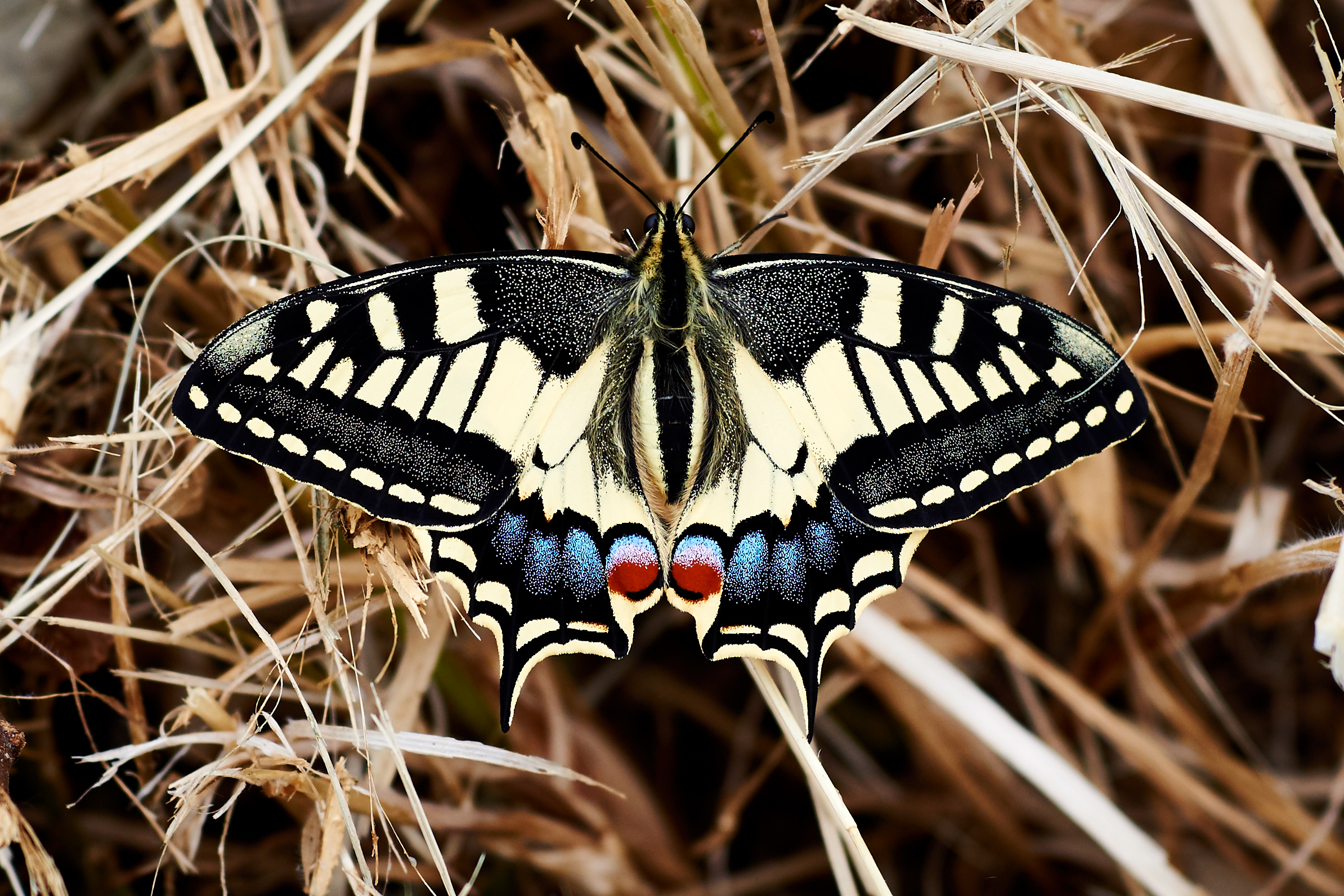 The swallowtail dries wings...