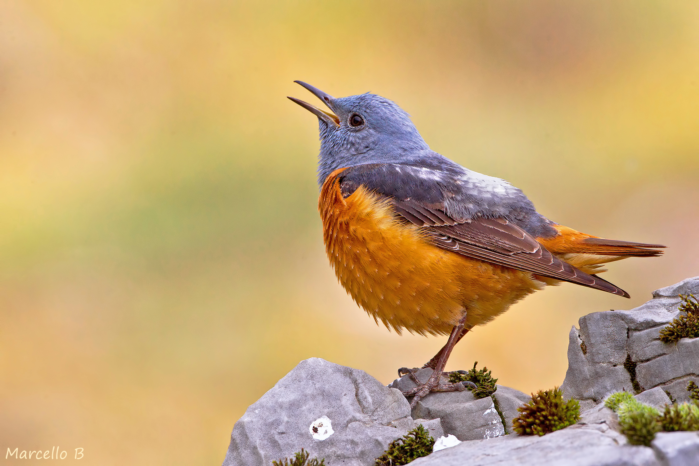 The song of the Rock Thrush - Apuan Alps....