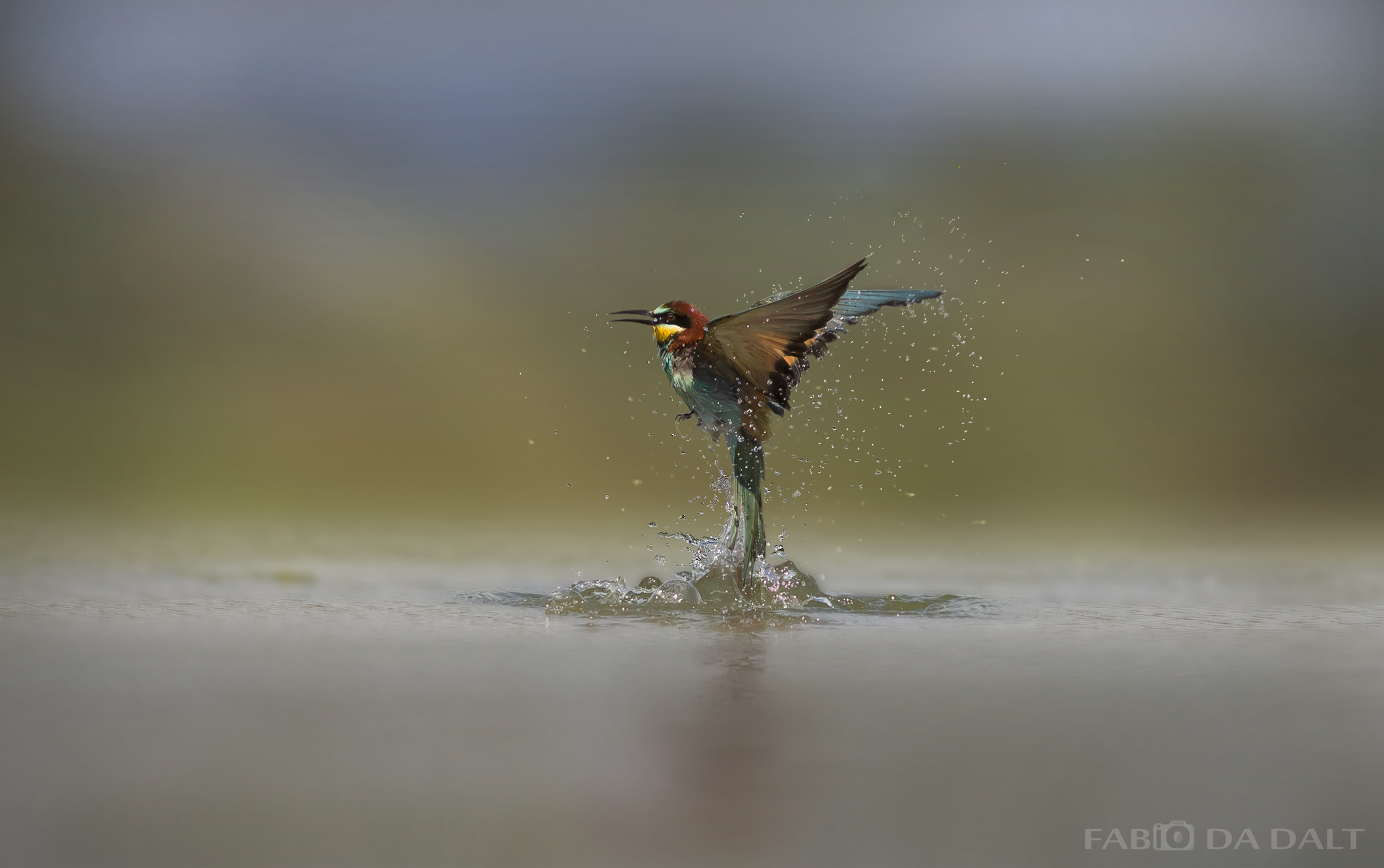 Bee Eater...