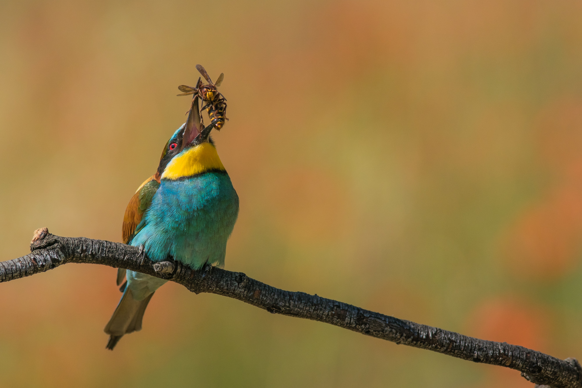 bee-eater with big catch...