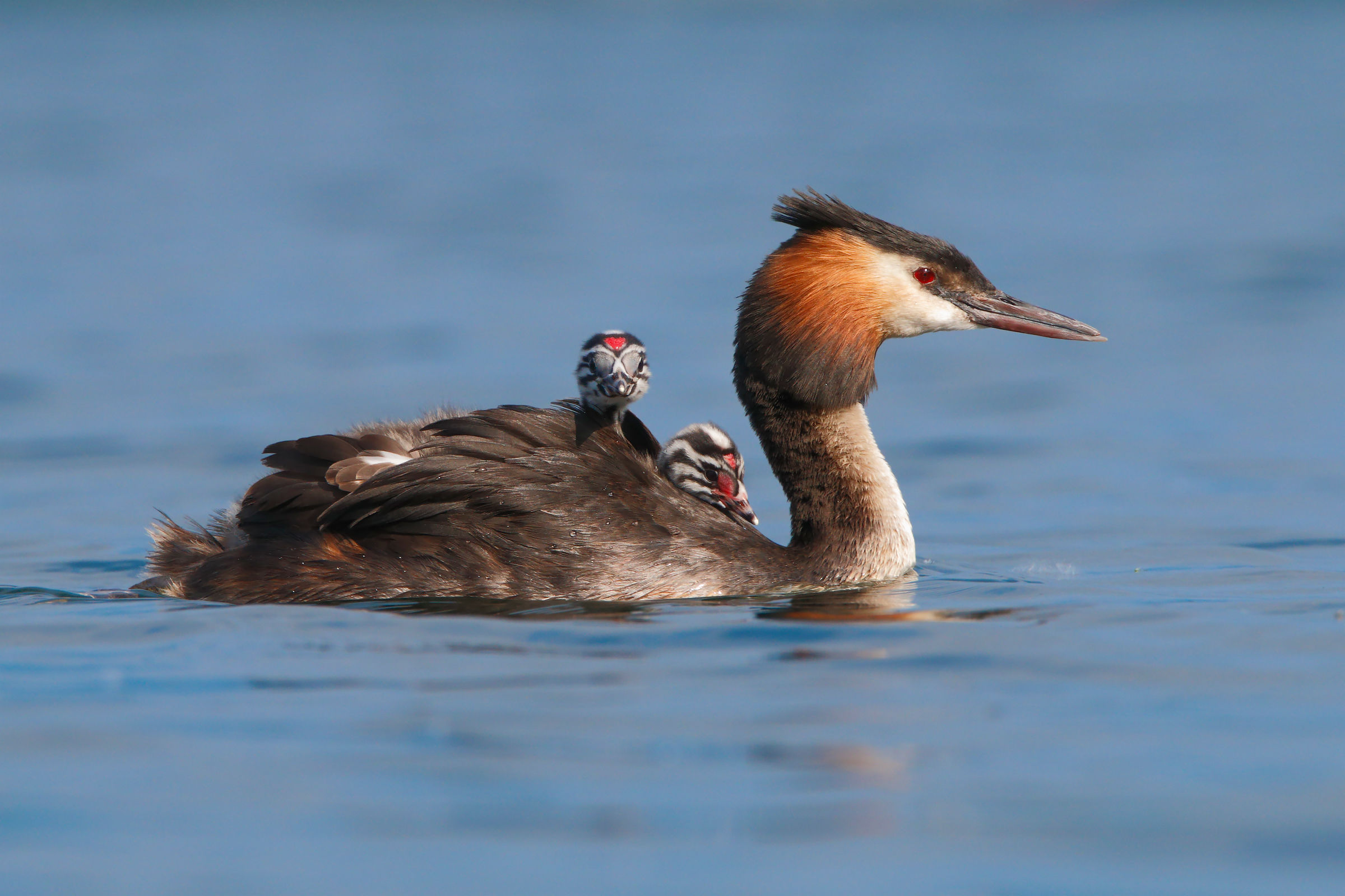 Grebe with children on board...