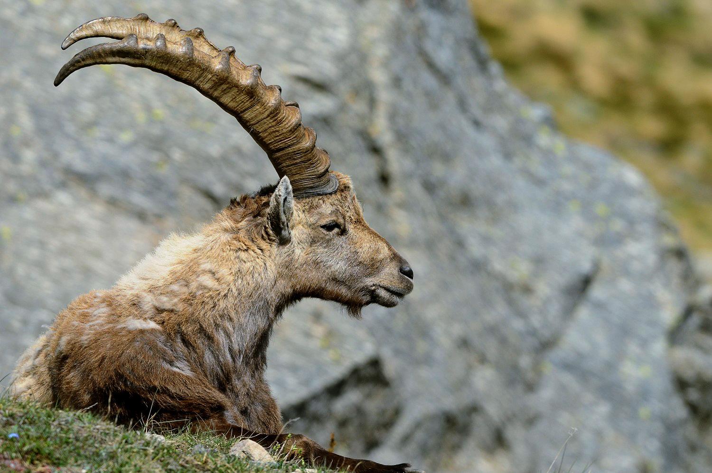 head ibex...