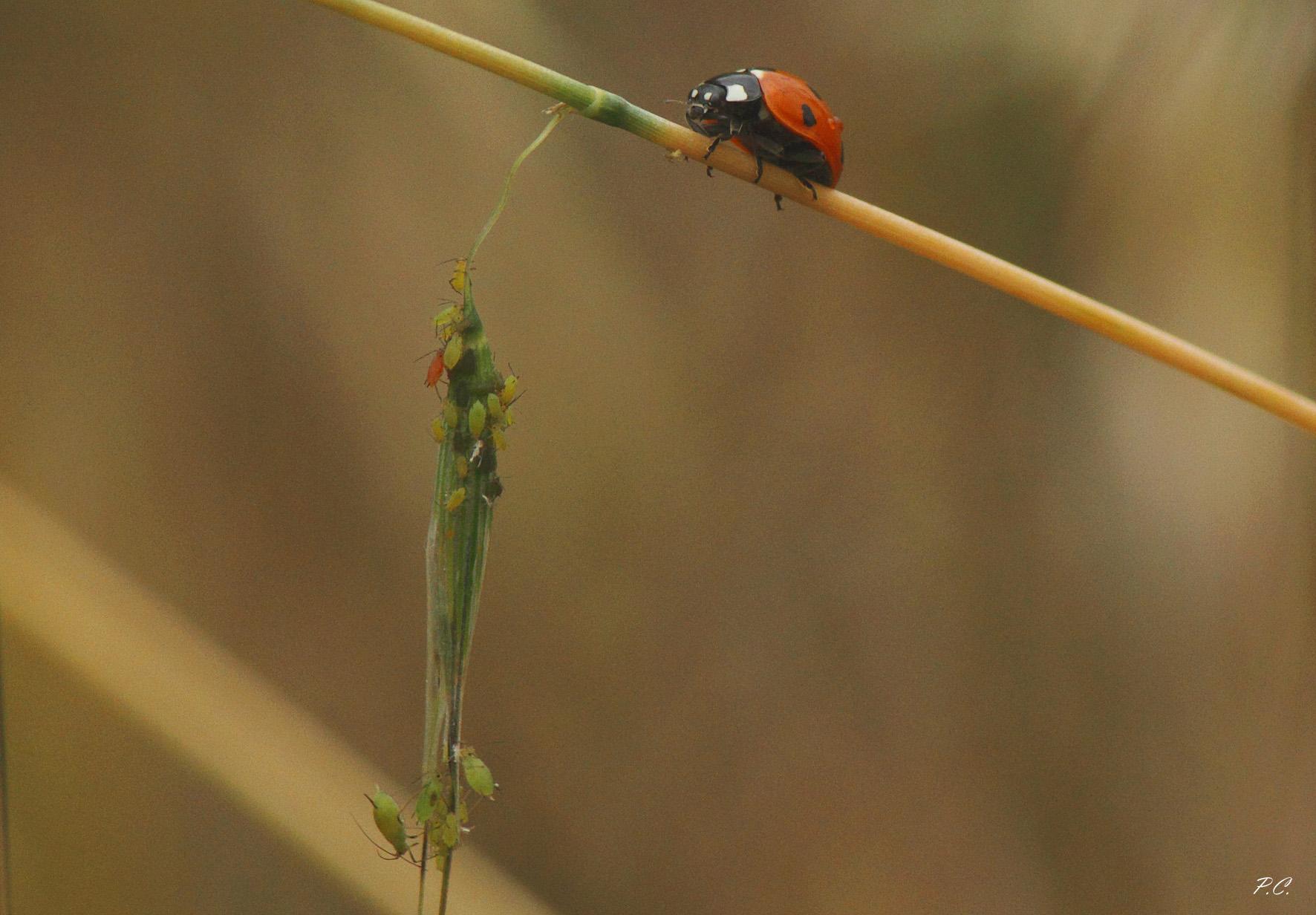 fisherwoman of aphids...