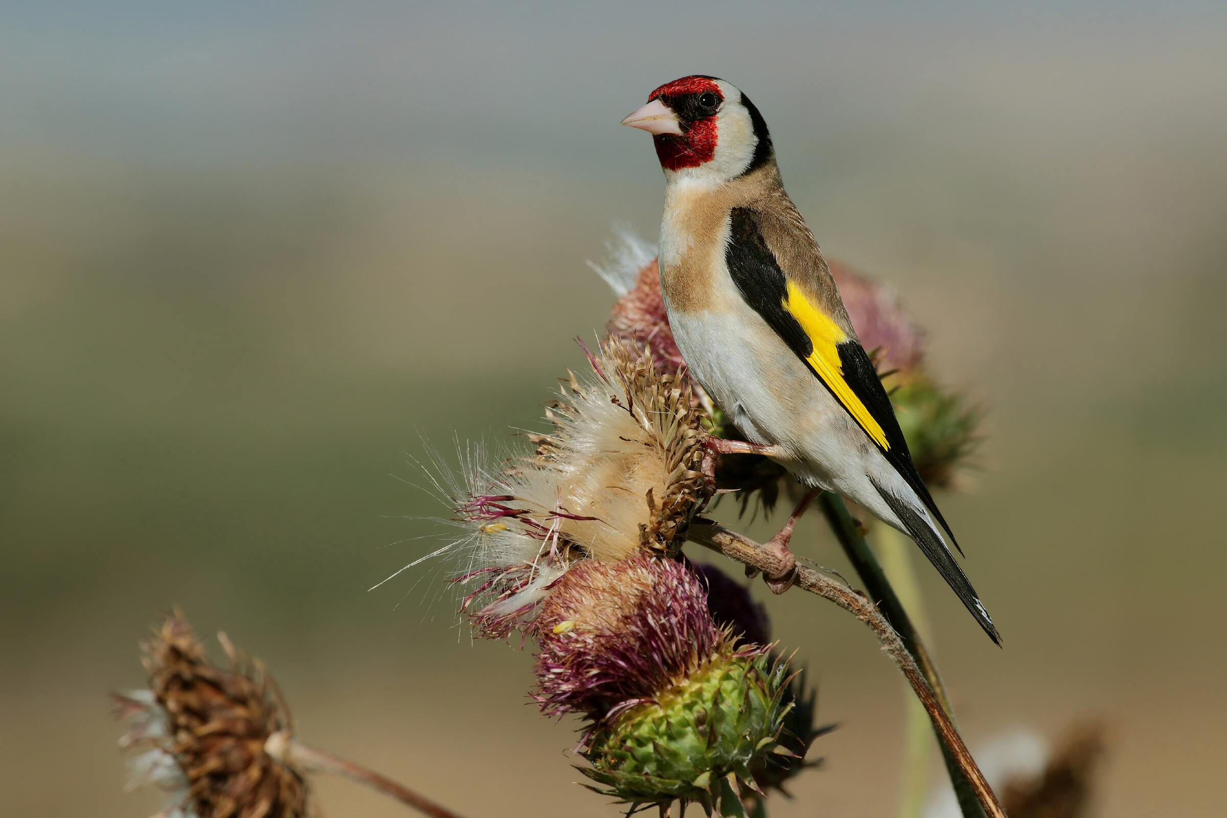 Goldfinch on thistles...