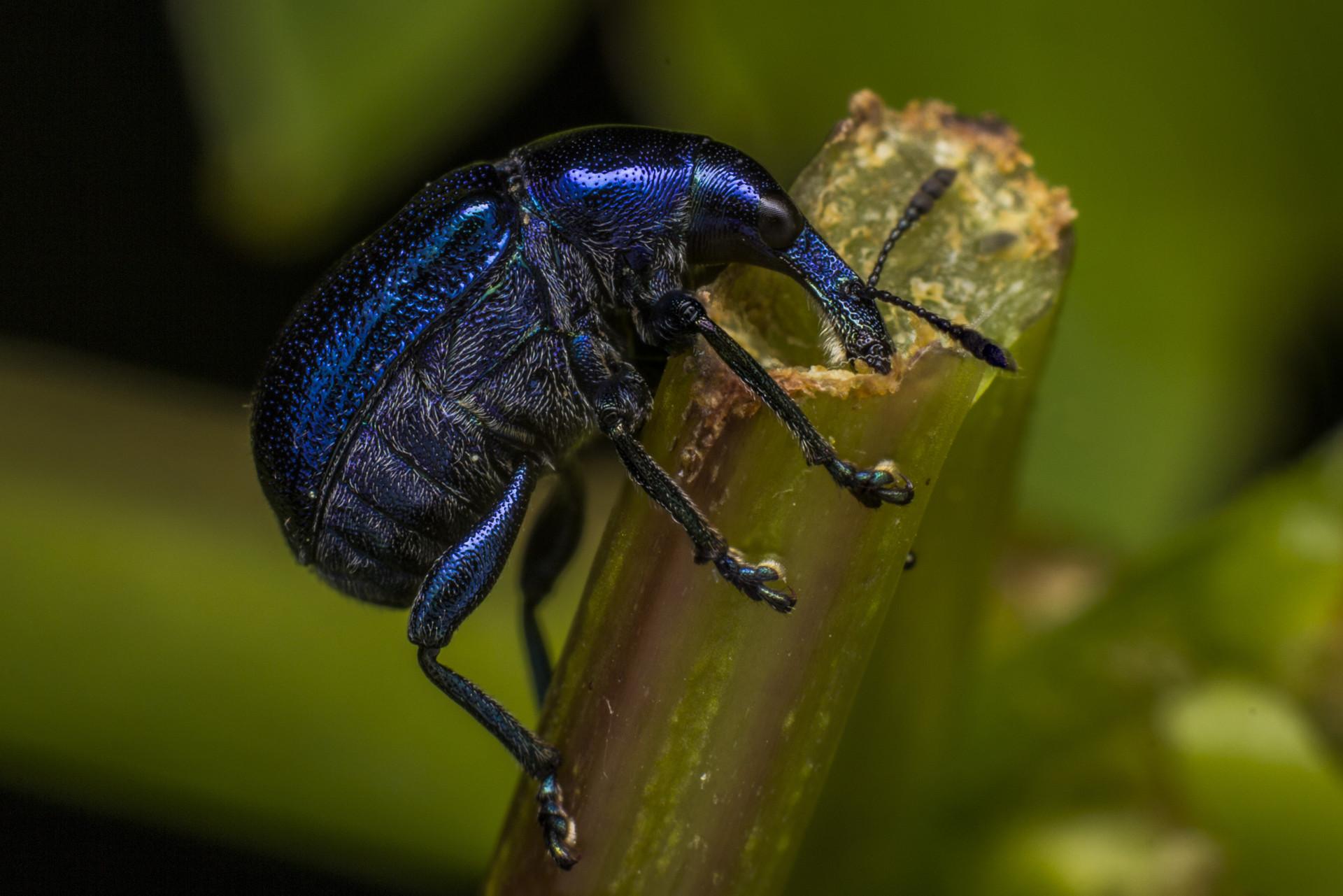 Curculionidae...