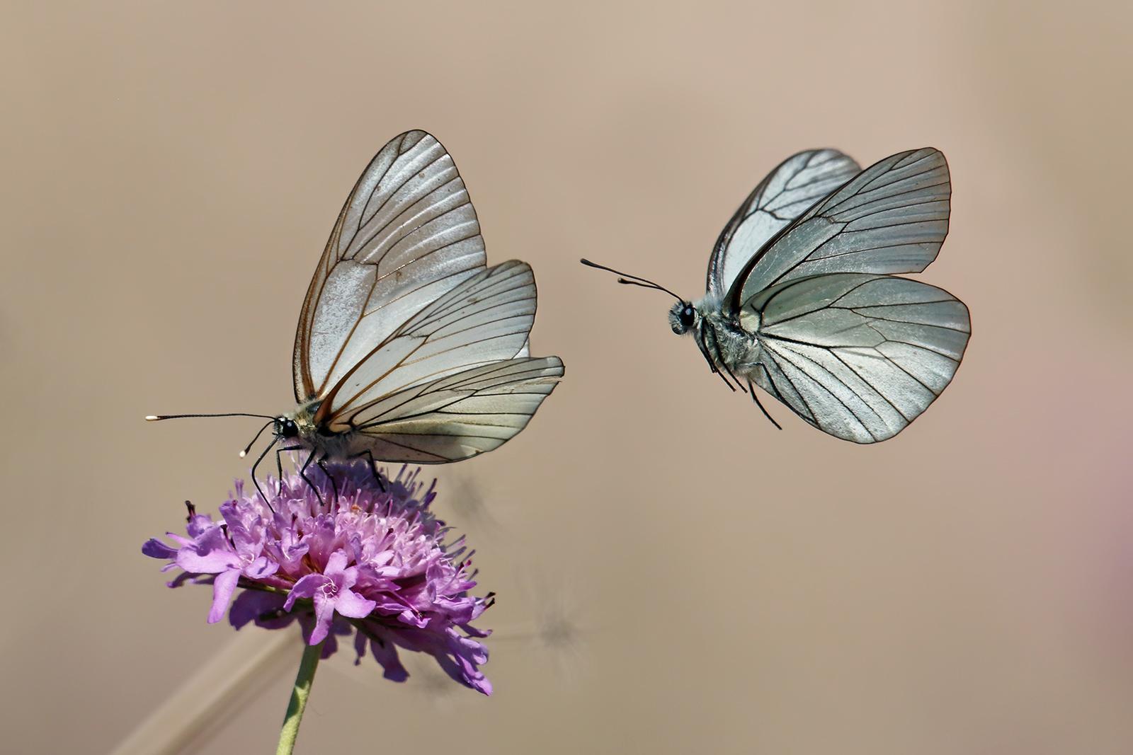 flying butterflies...