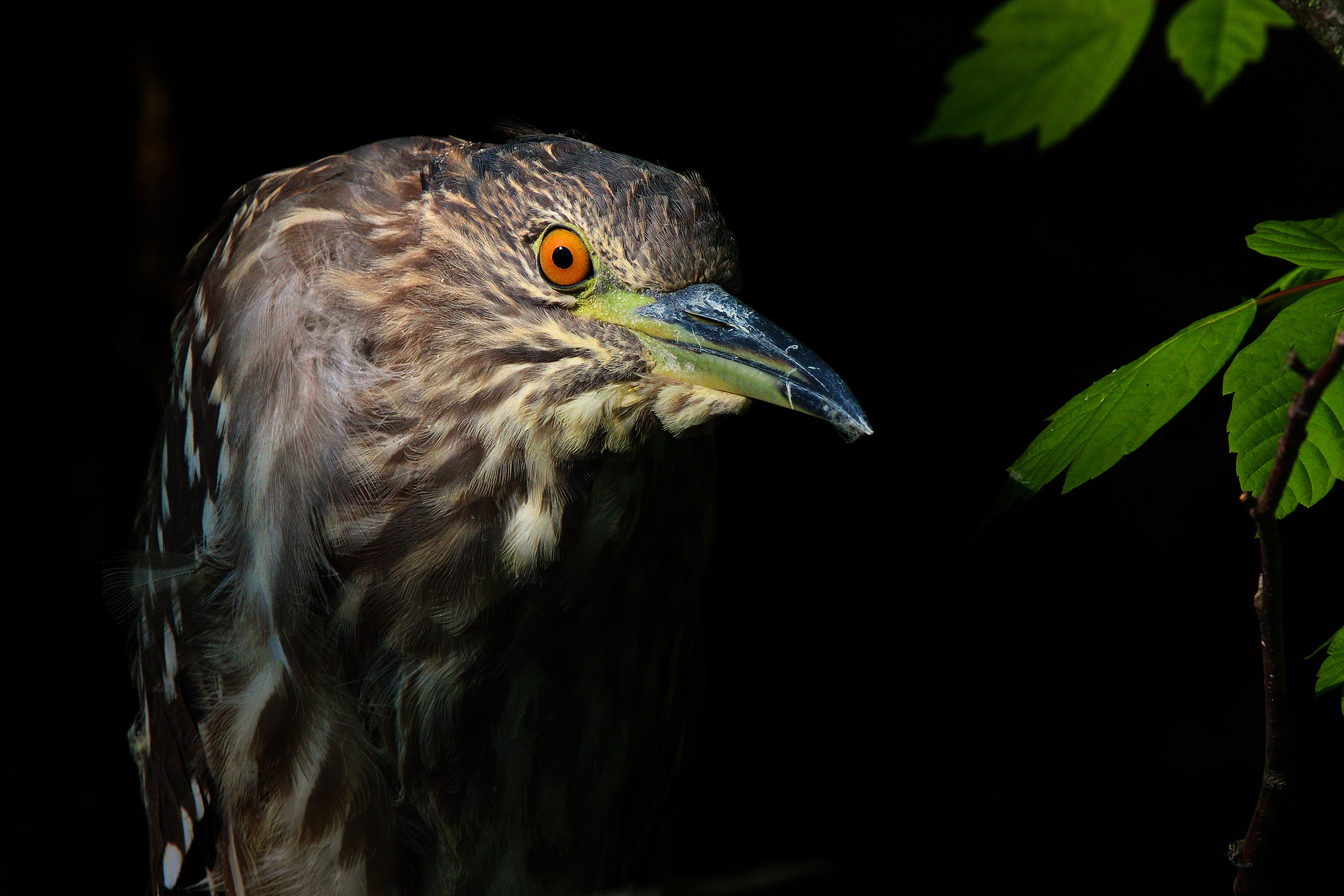 Young night herons in the gloom...