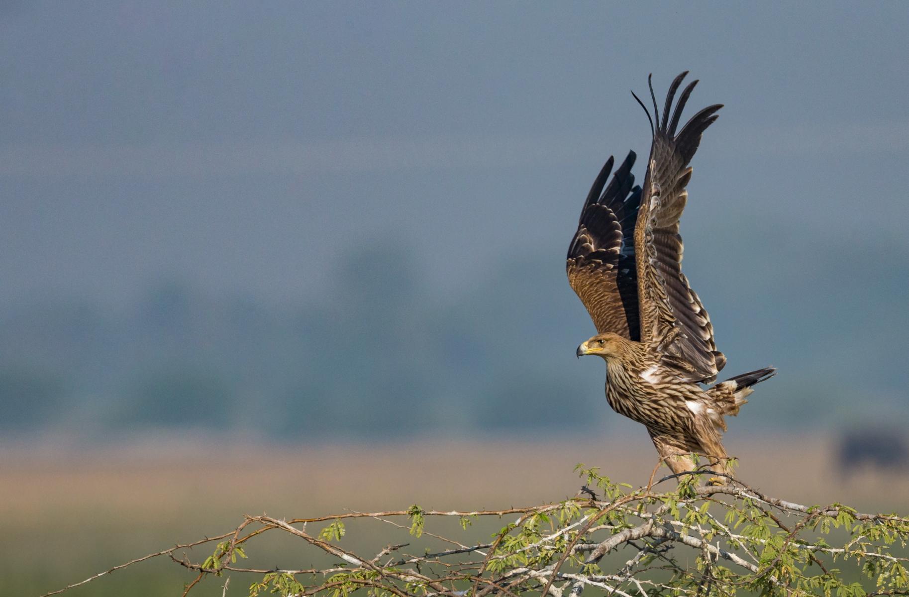 Imperial eagle(aquila heliaca)...