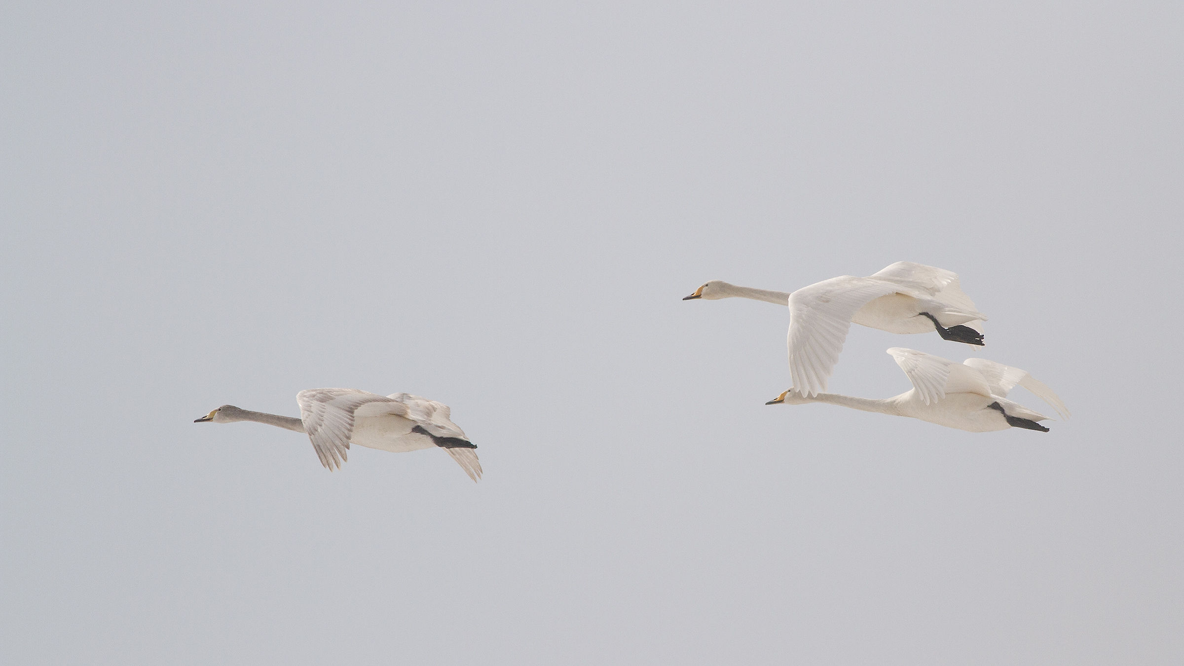 flying swans on a foggy day...