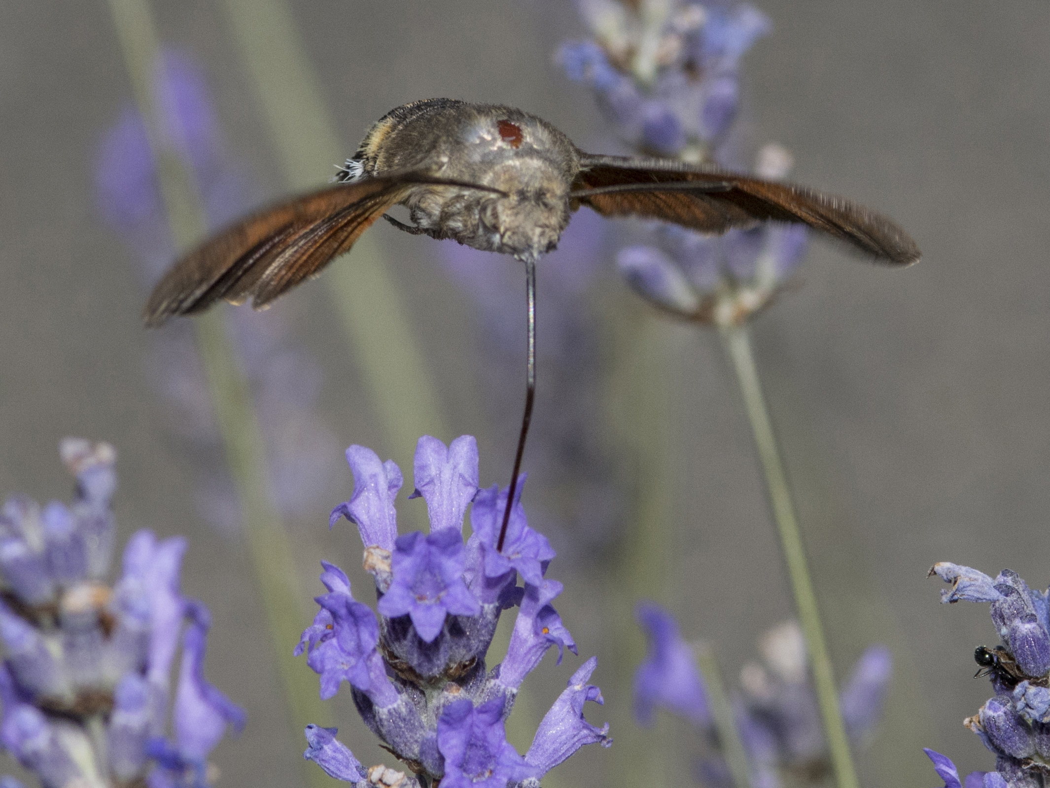 insect hummingbird...