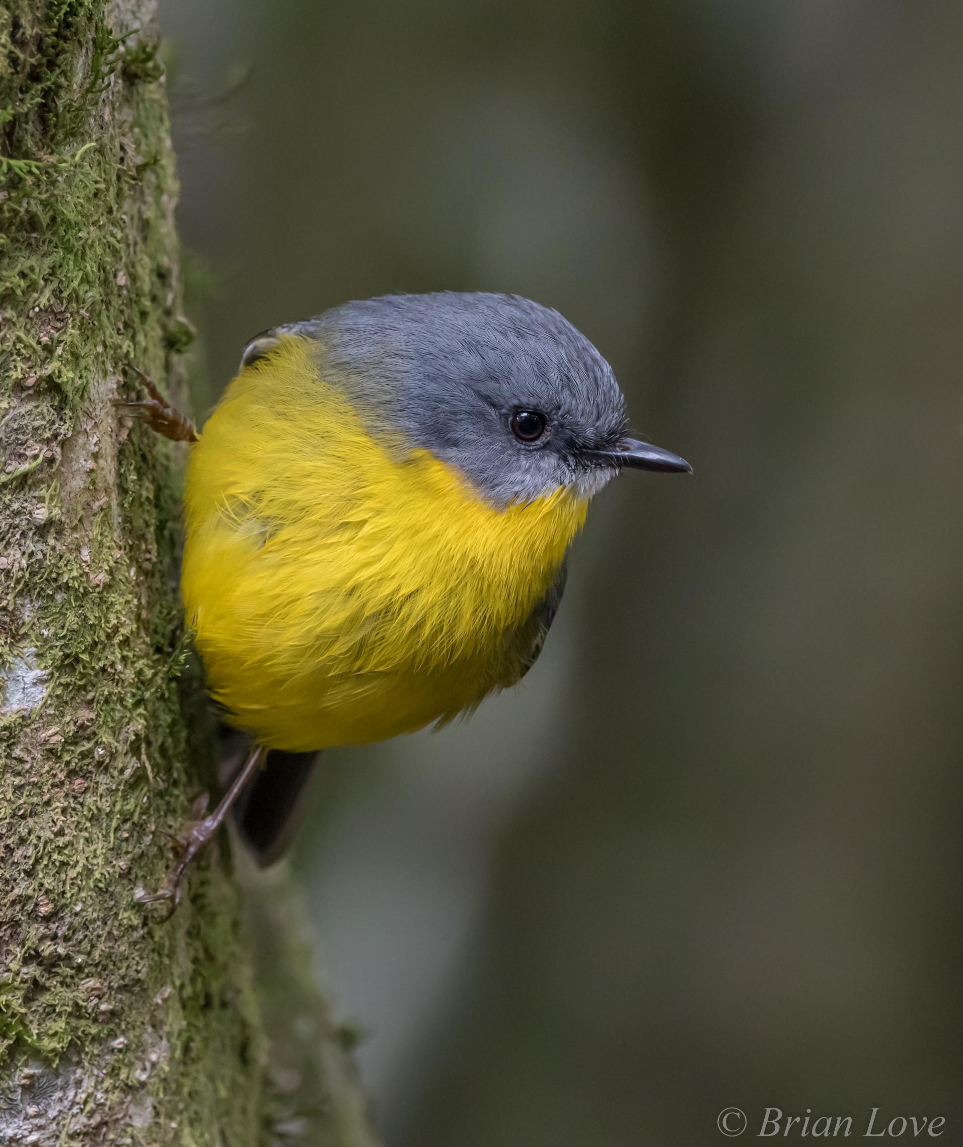 Eastern Yellow Robin(Eopsaltria australis)...