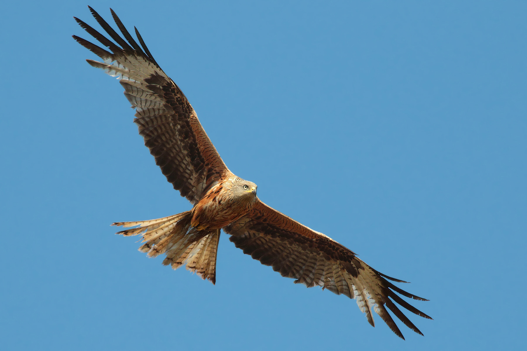 Red Kite for Lambros and the indestructible object...