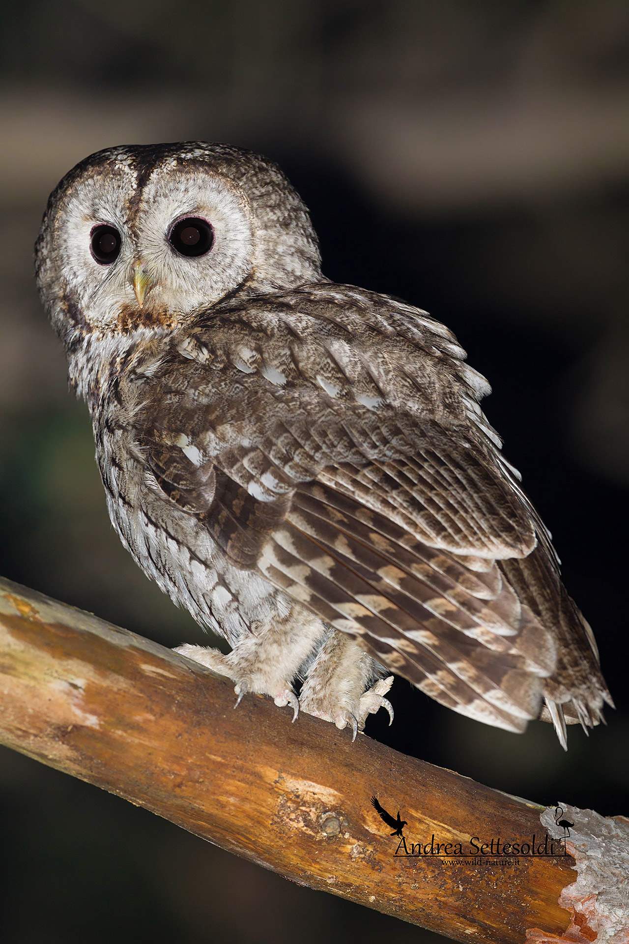 tawny owl...