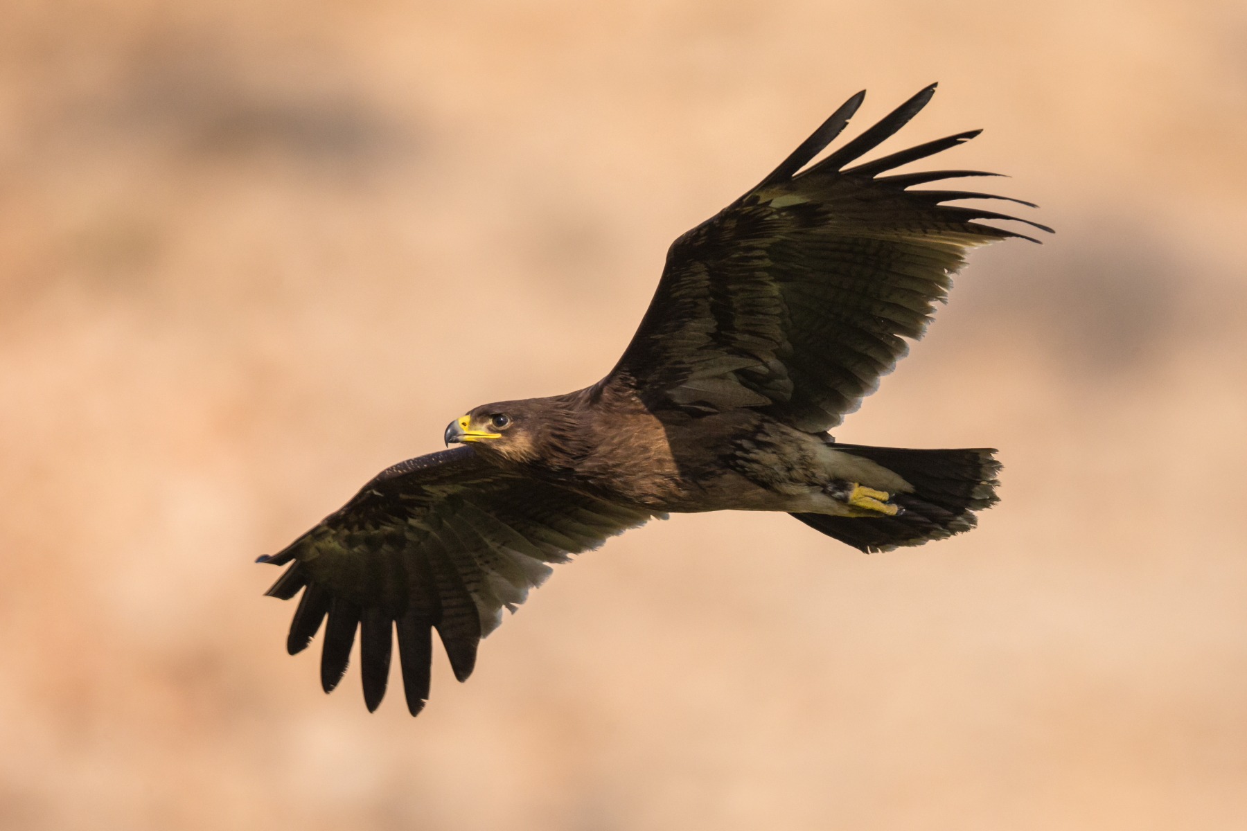 Greater Spotted Eagle(clanga clanga)...