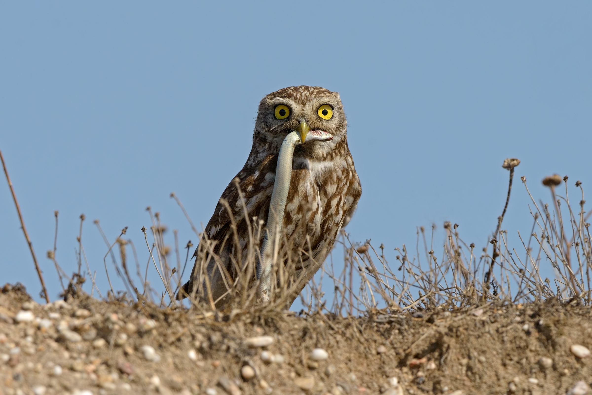 owl with three-toed skink...