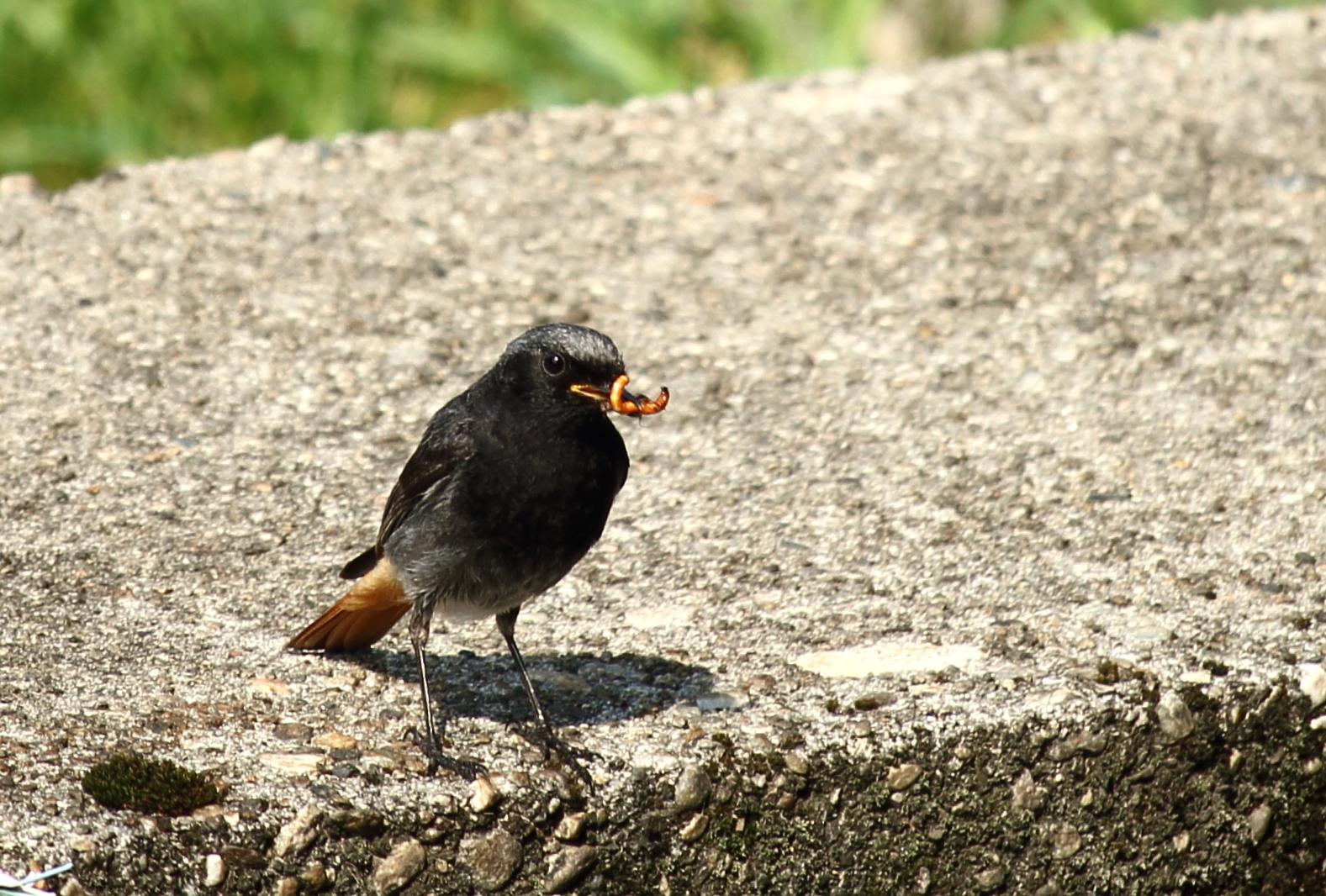 the Redstart male...