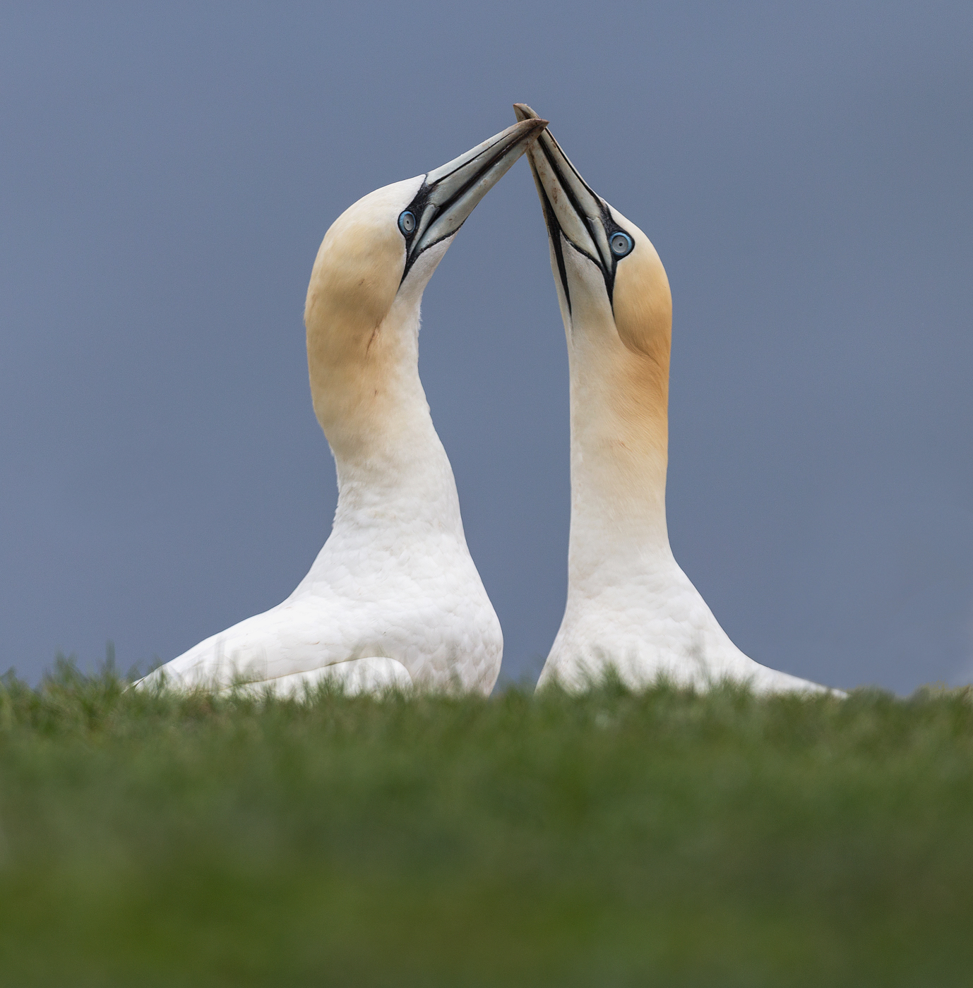 Pair of Courting Northern Gannets , Quebec , Canada...