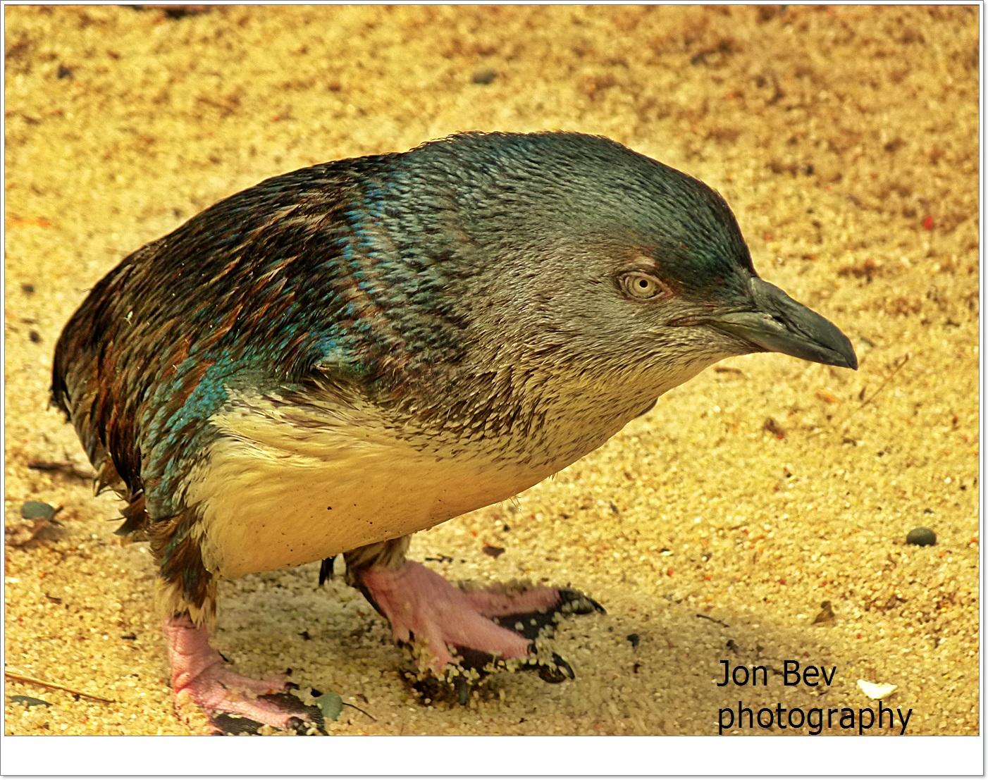 un piccolo pinguino che vive circa nz riva juzaphoto