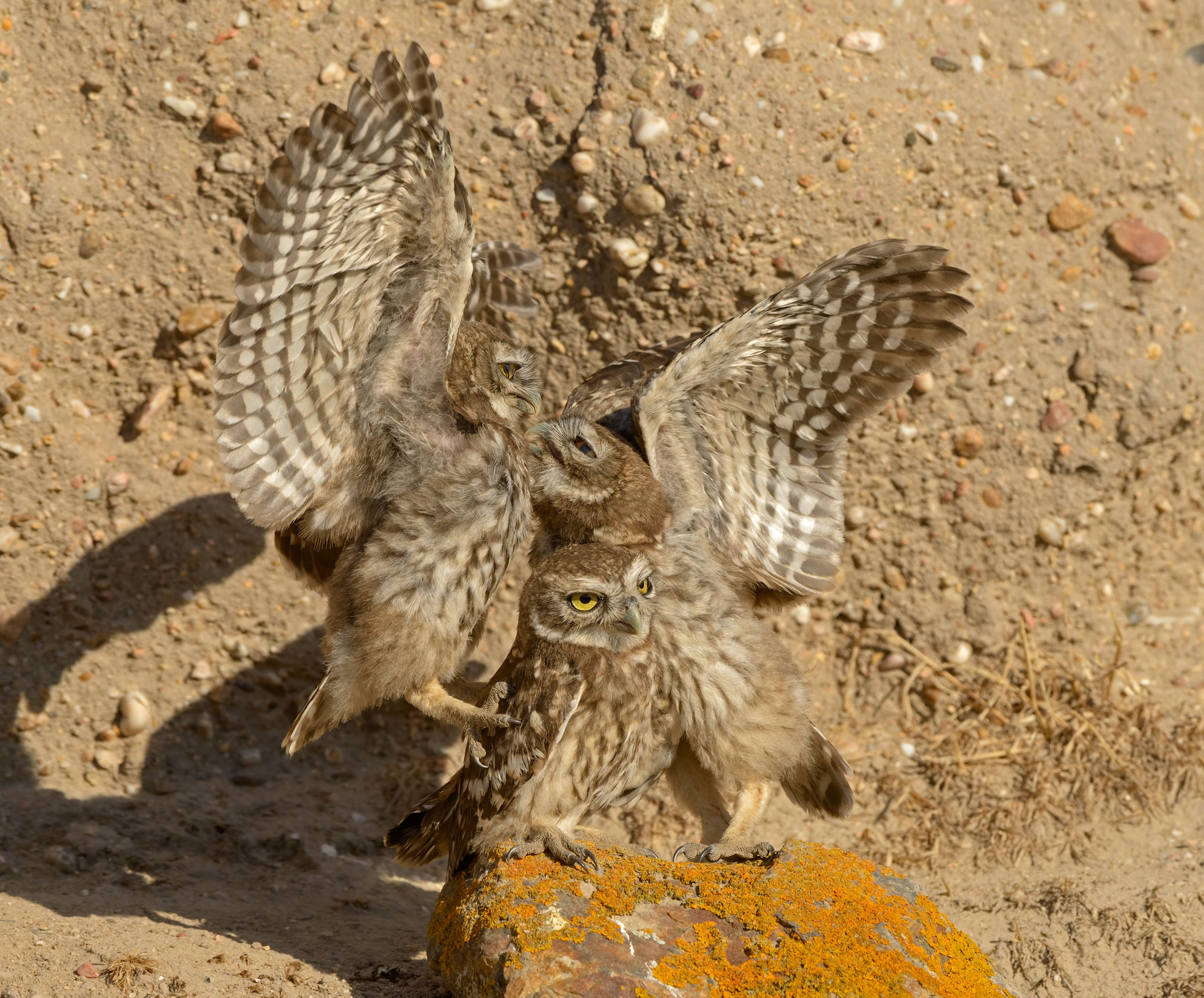 young owls play...