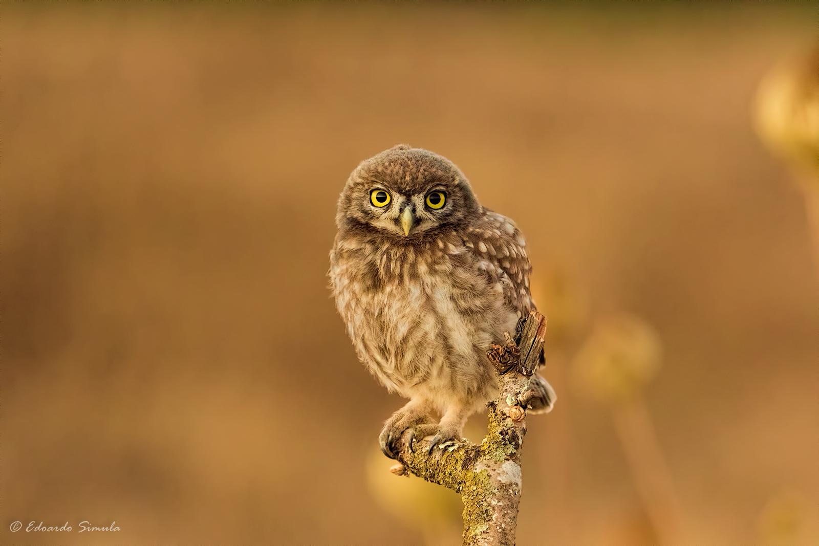 Little owl...