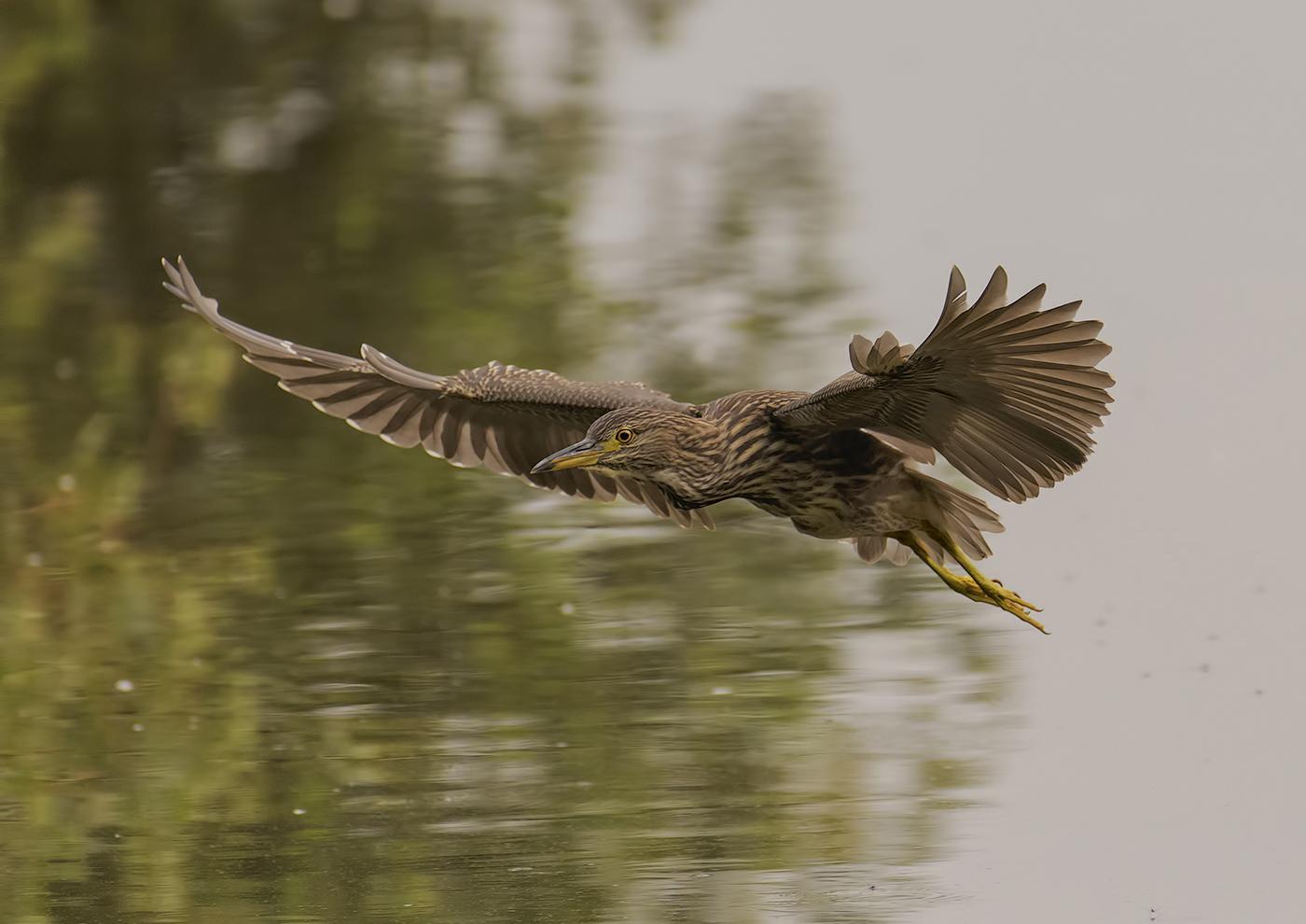 female Night Heron...