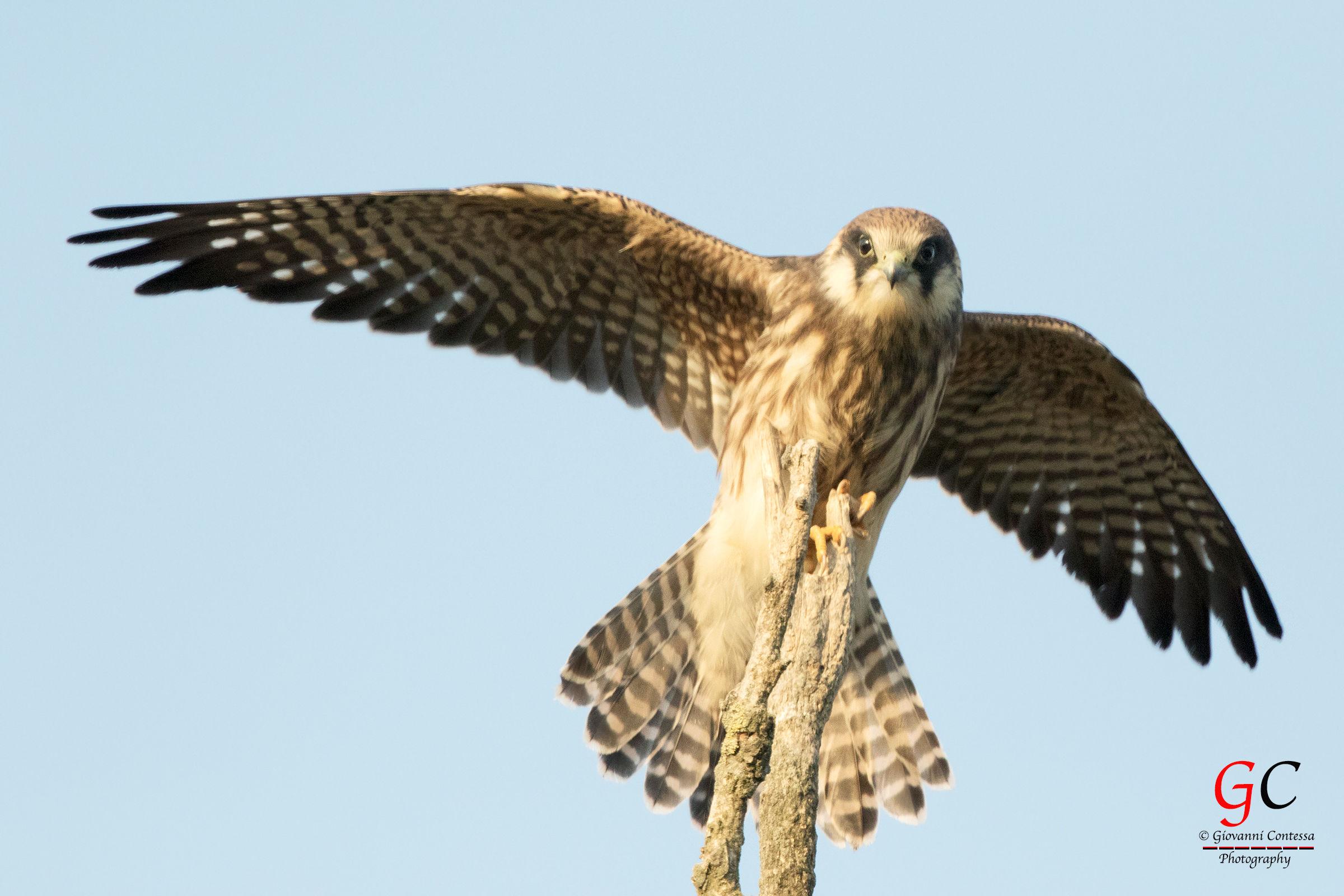 hawk young cuckoo...