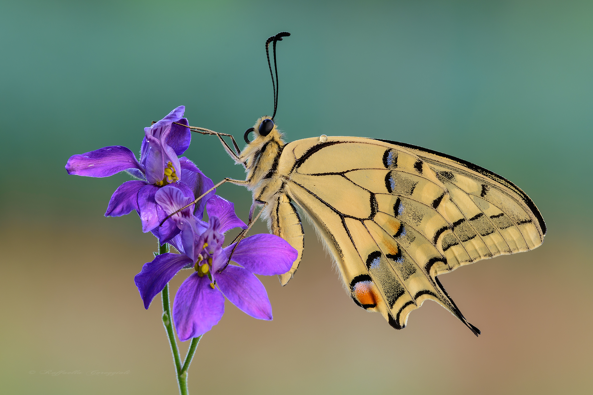The strength of Papilio...