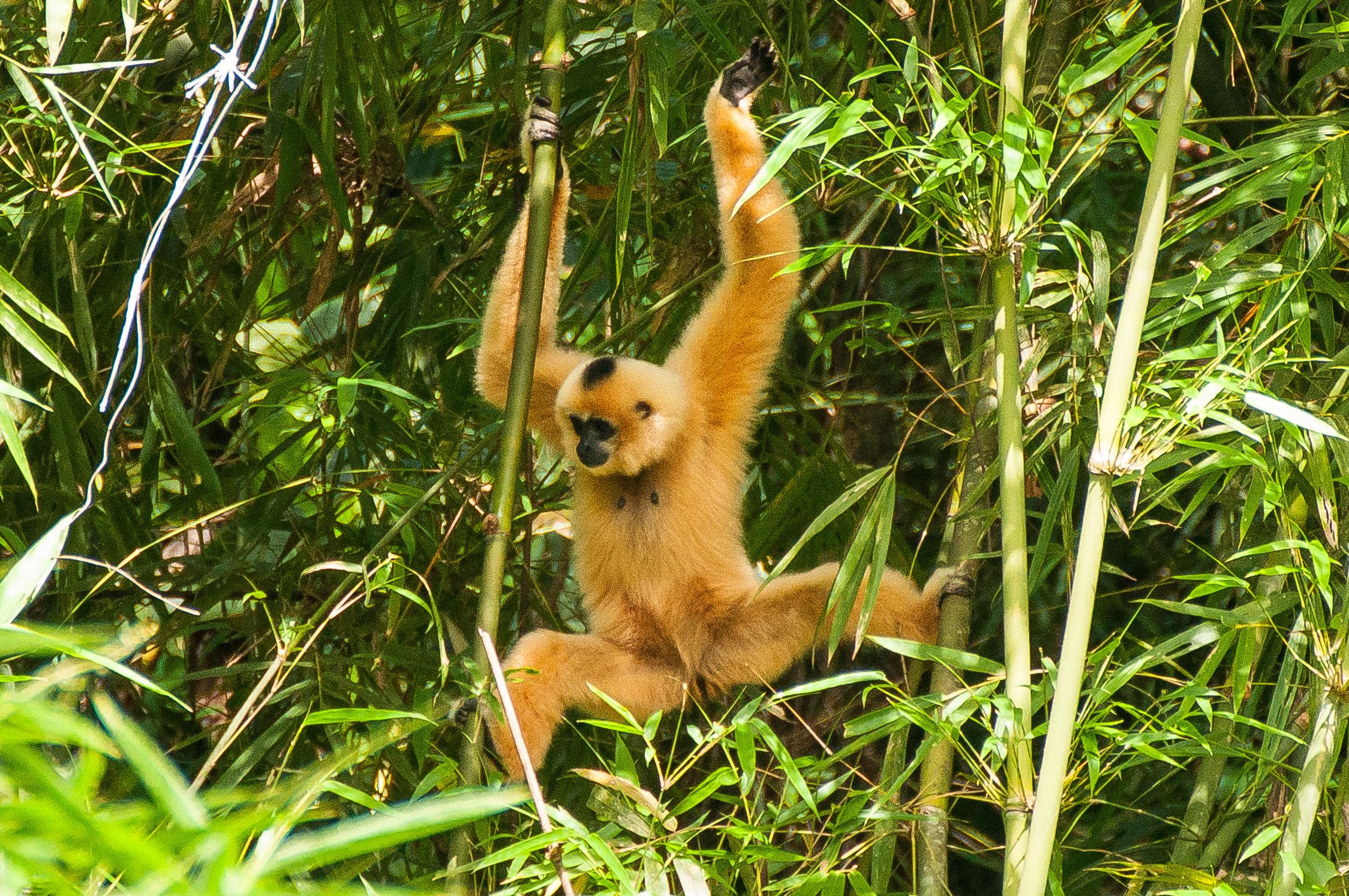 Gibbon pink cheeks...