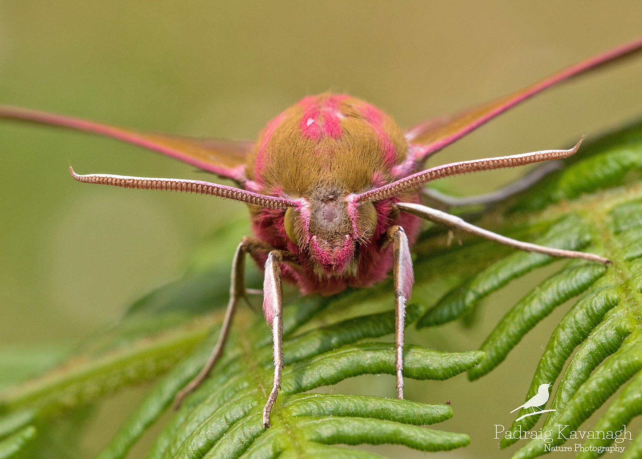 Elefante Hawk Moth...
