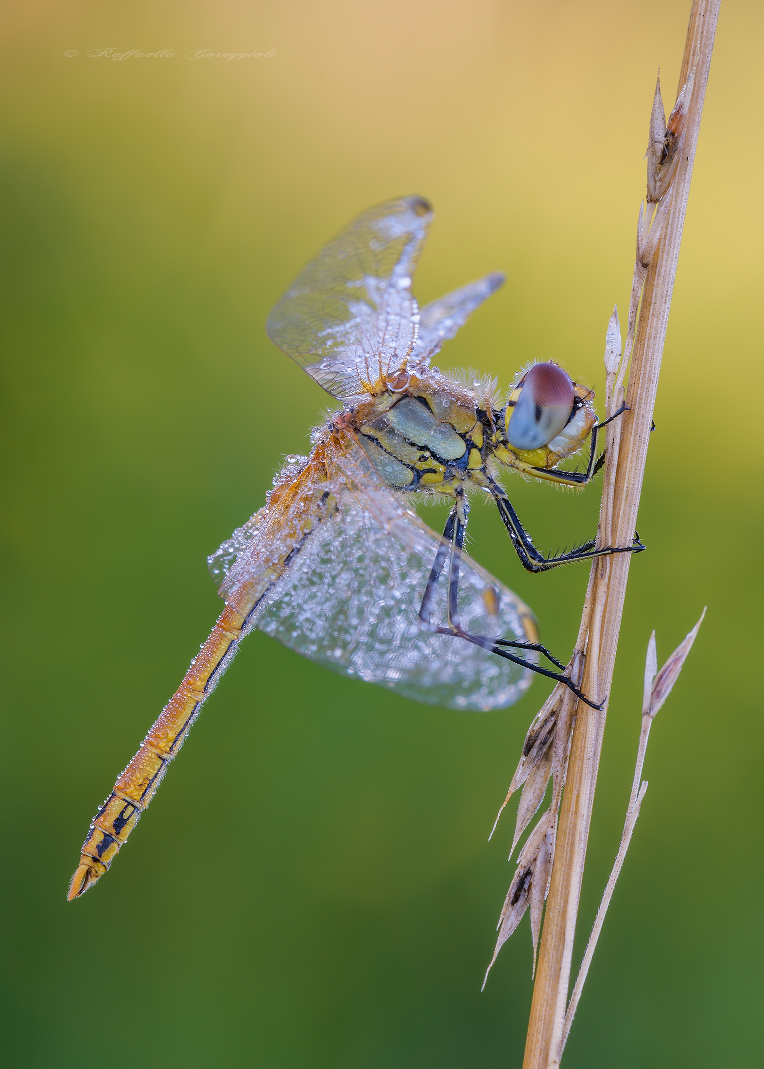 Sympetrum fonscolombii?...
