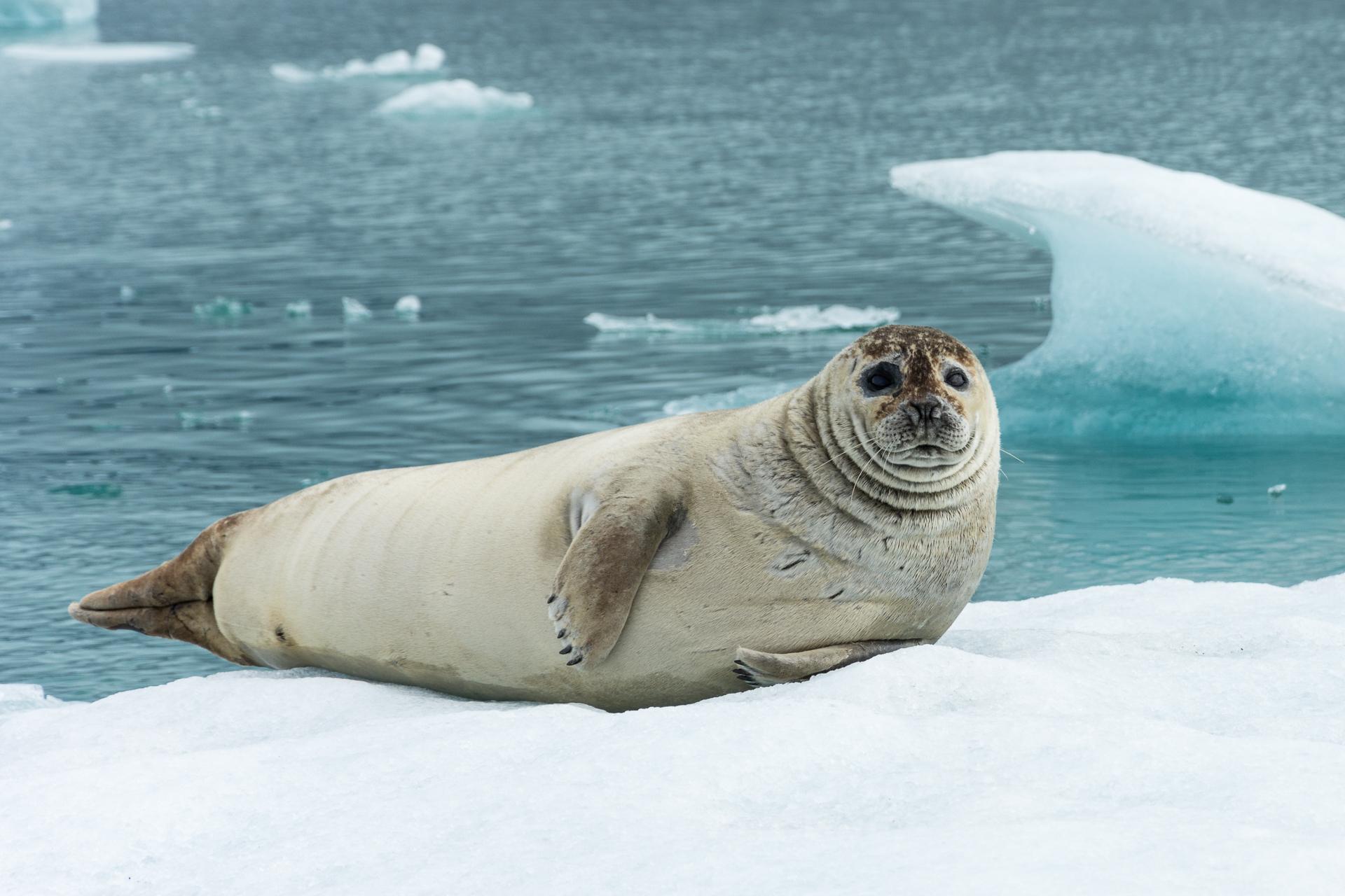 Curious seal...