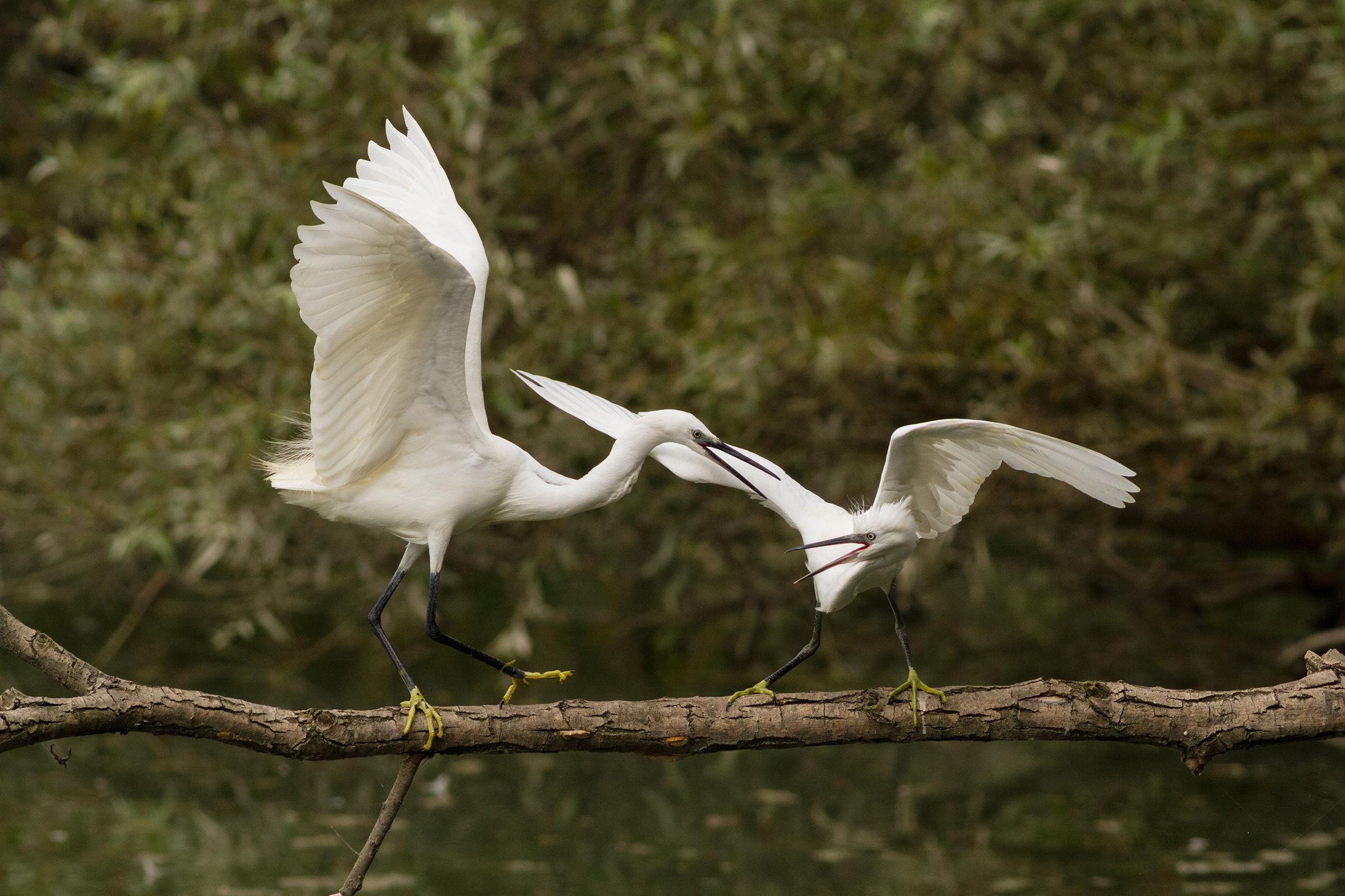egrets quarrelsome...