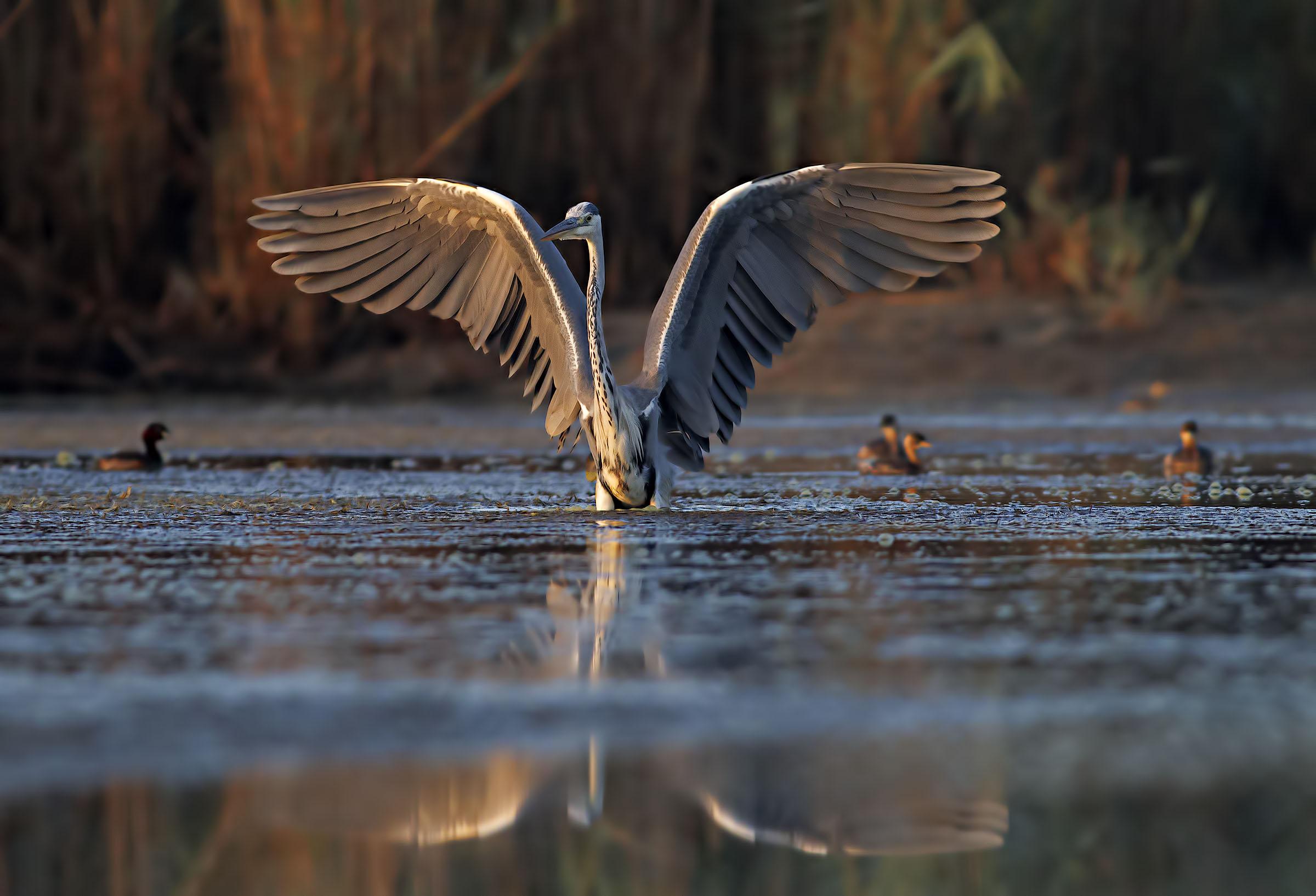 Grey Heron...