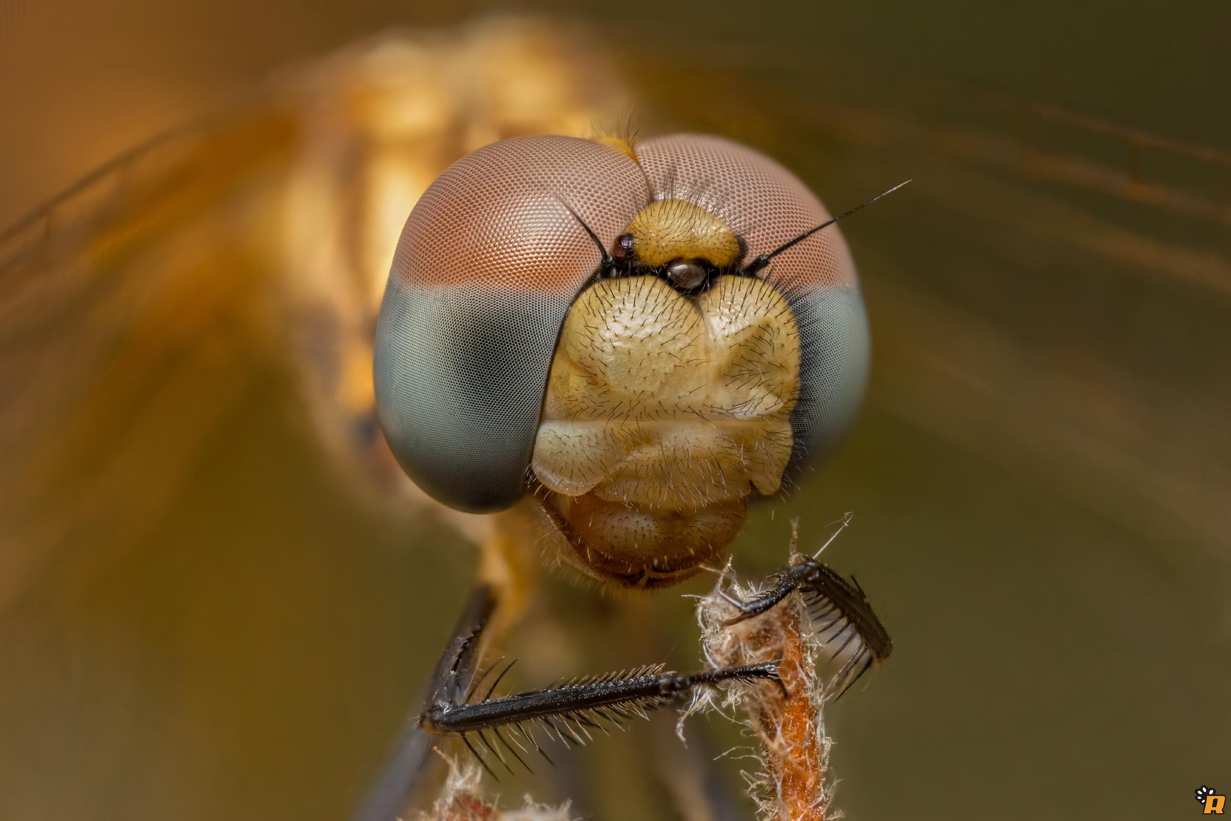 Tritemis annulata - 2.5x...