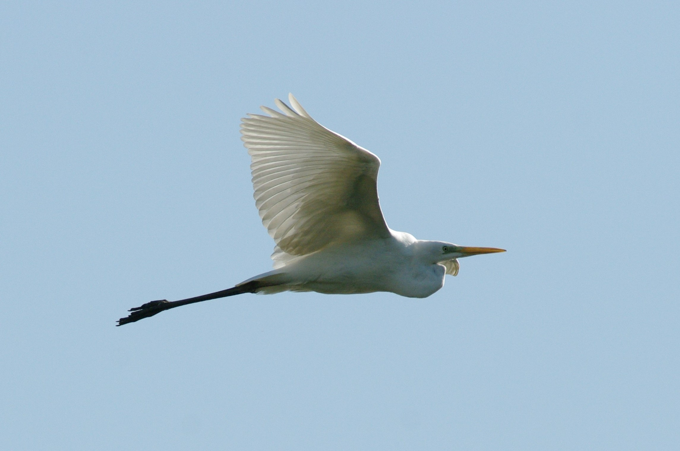Great Egret (...