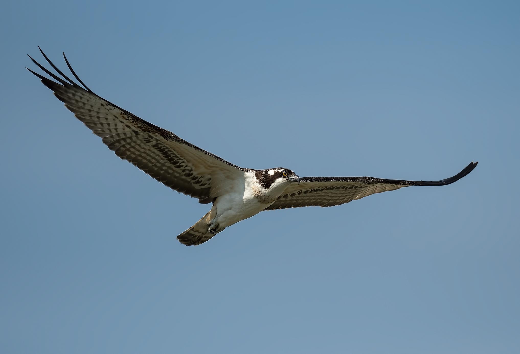osprey in torrile...