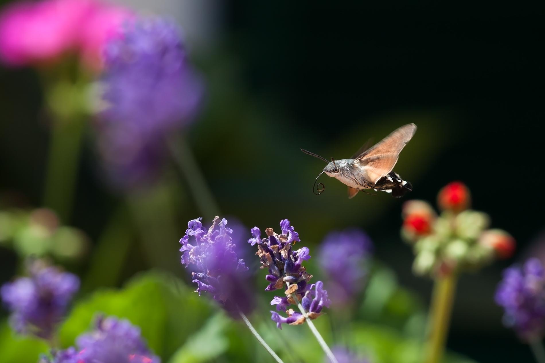 macroglossum in flight...