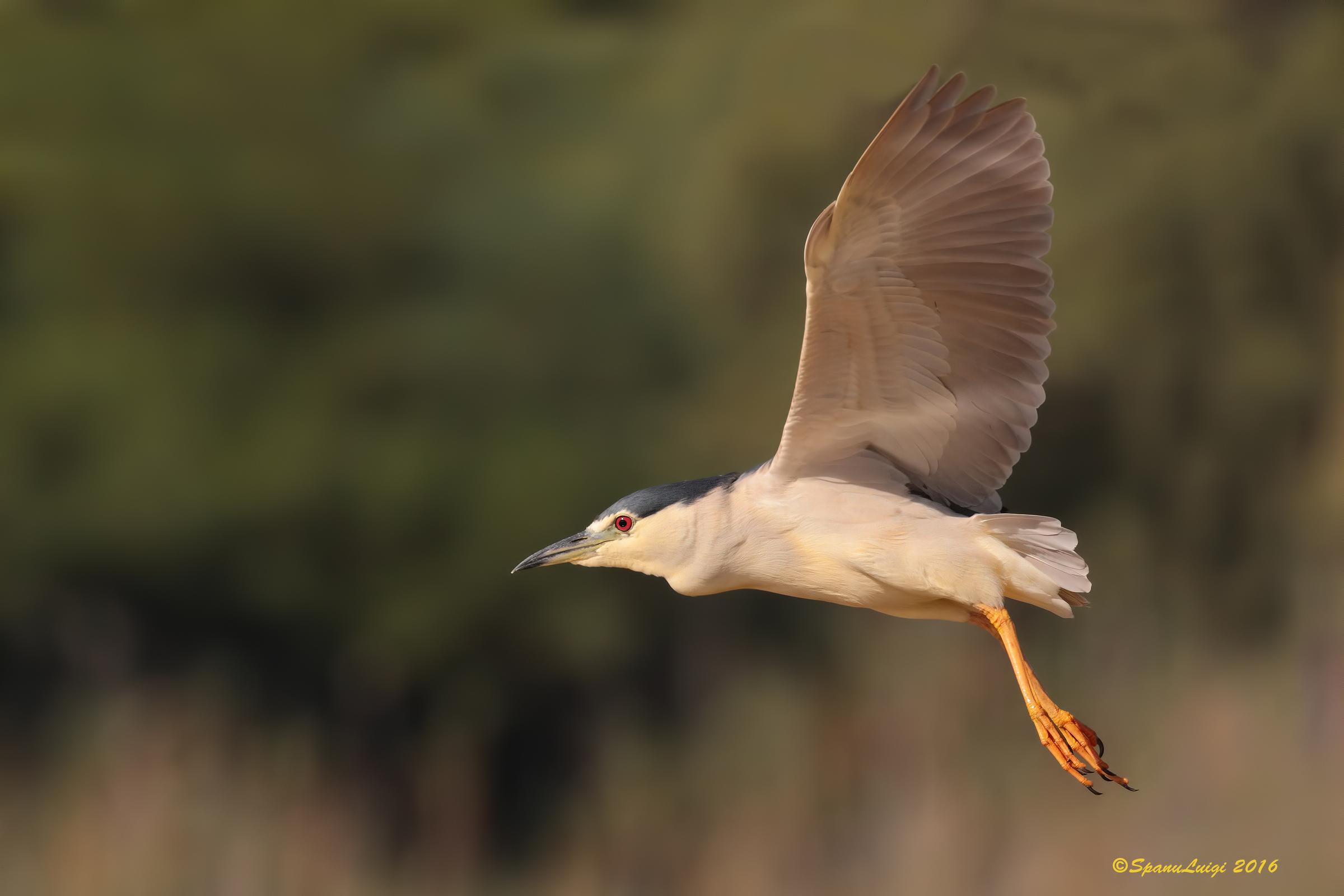 Night Heron...
