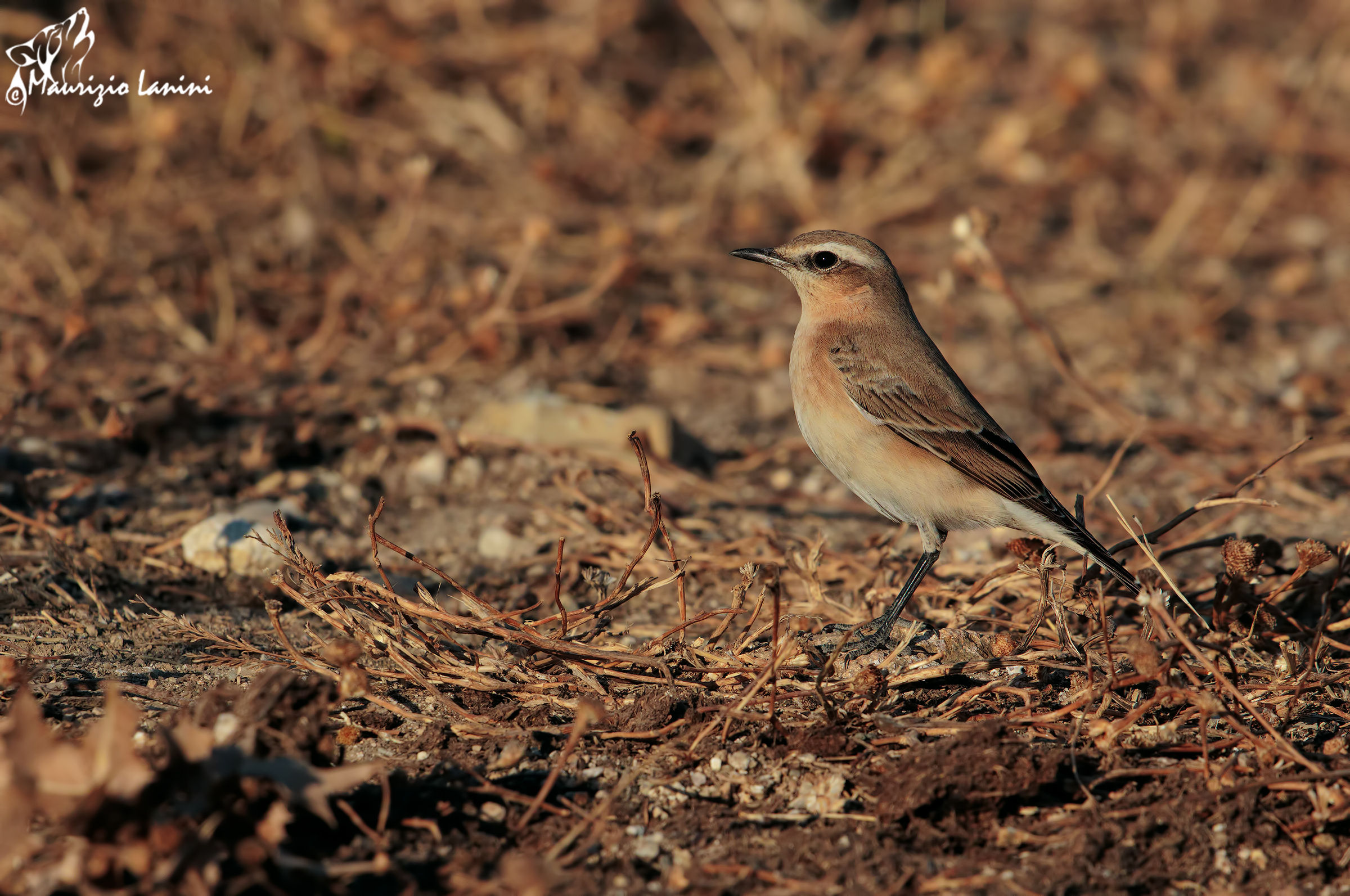 Wheatear at sunset...