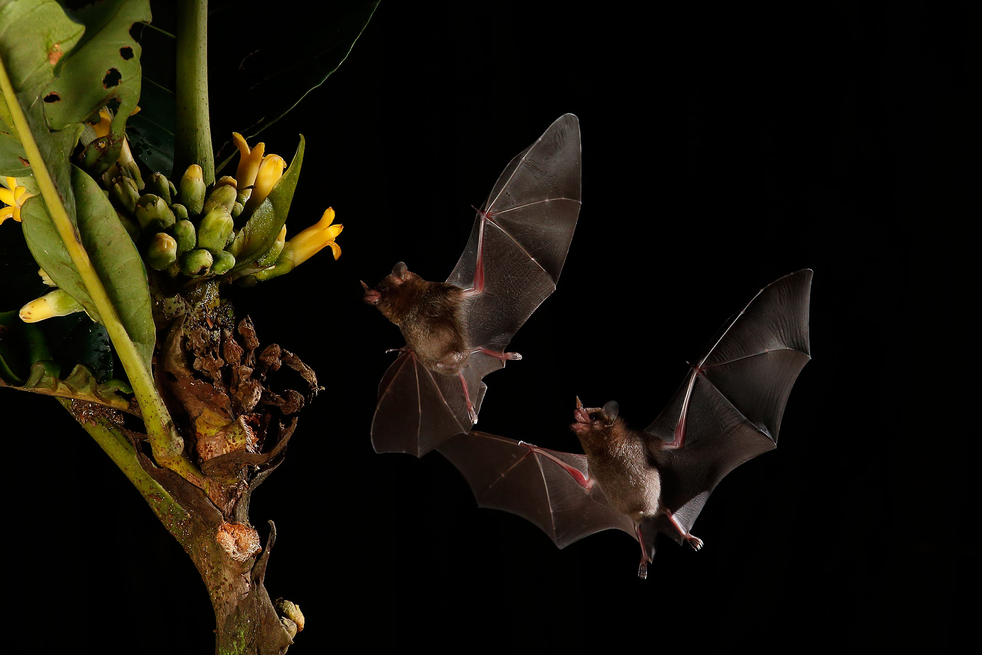 Pallas.s long-tongued bat...