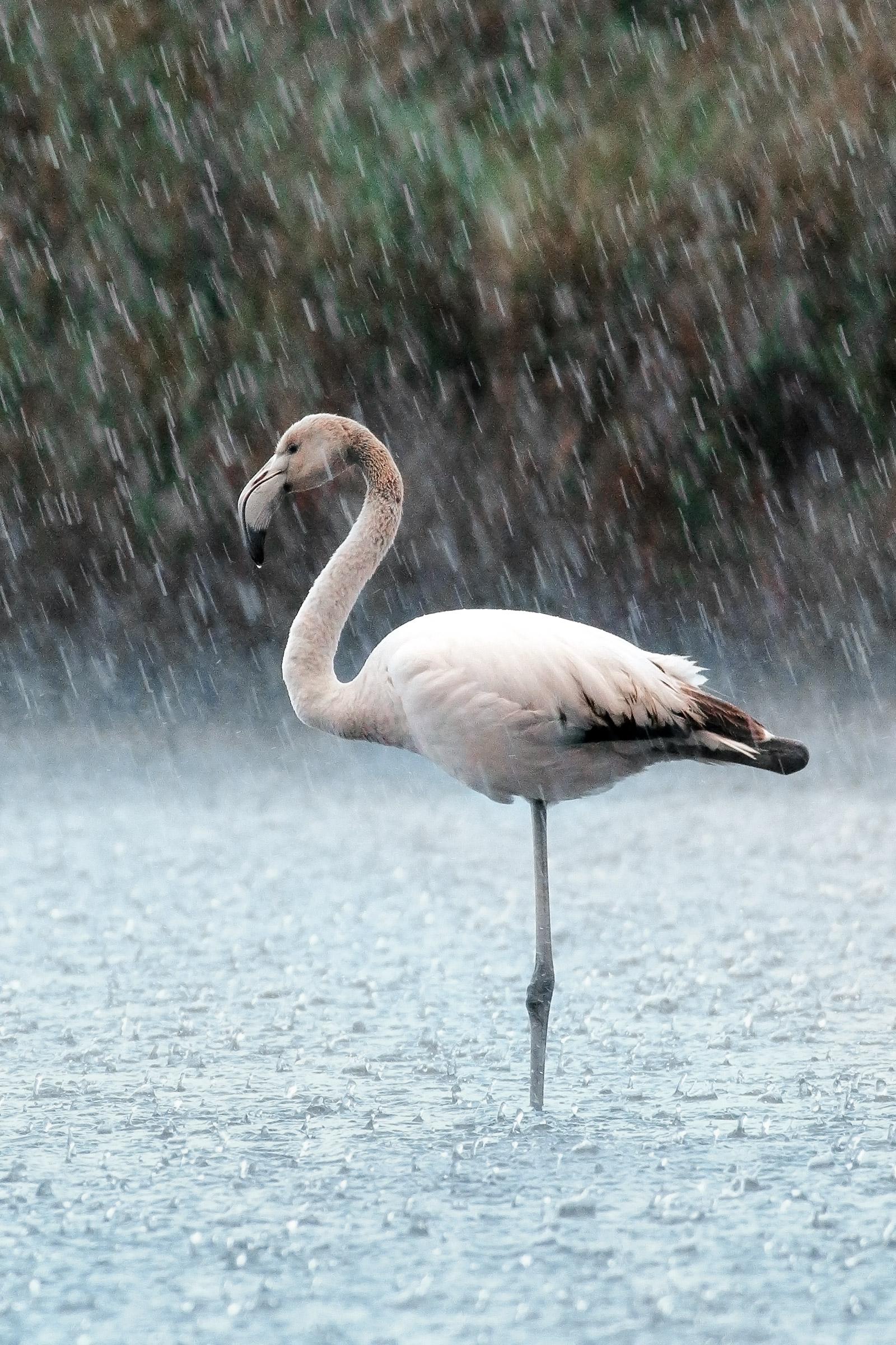 Fenicottero Nella Pioggia Battente...