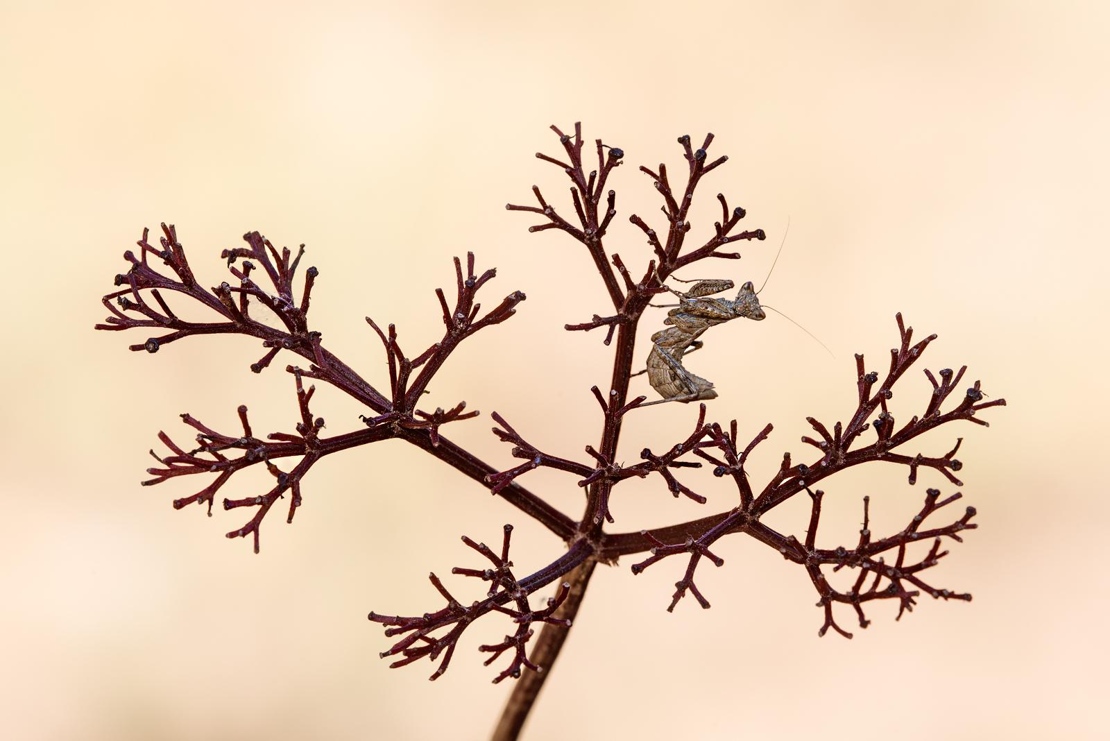 L'albero della mantide...