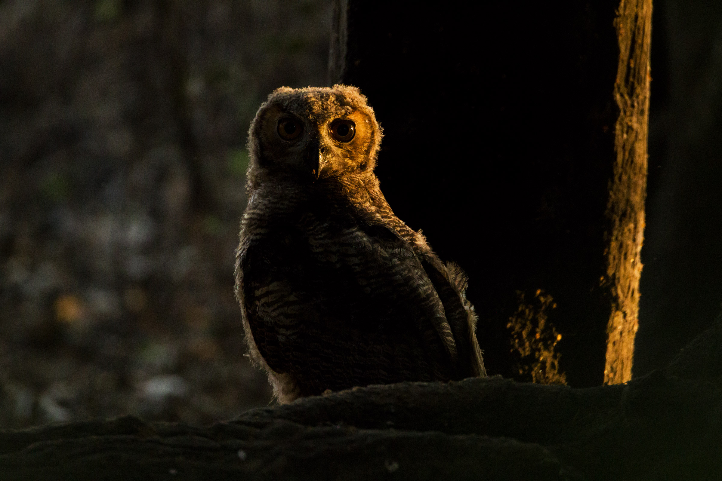 Owl in the twilight...