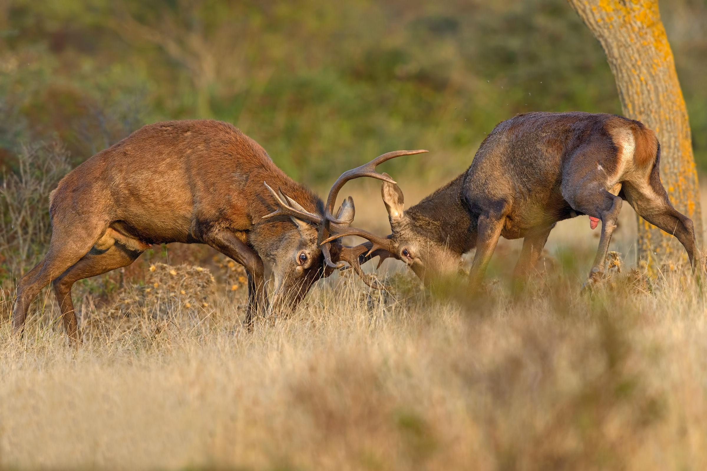 fight between Sardinian deer...
