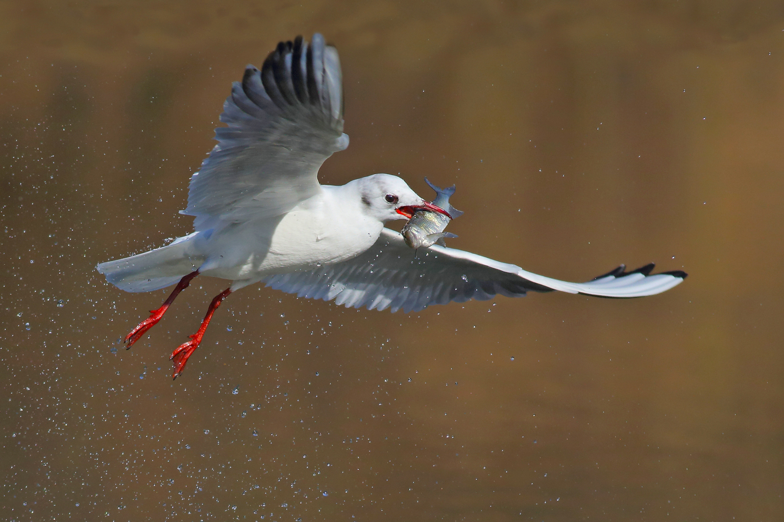 Gull with fish...