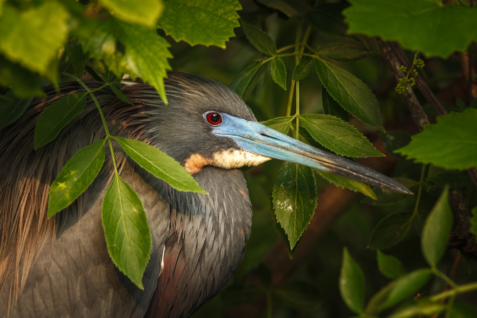 Tricolored heron...