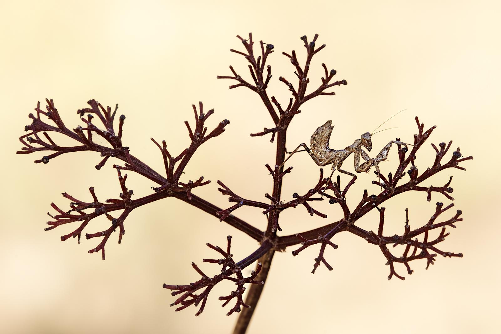 L'albero della mantide 2...