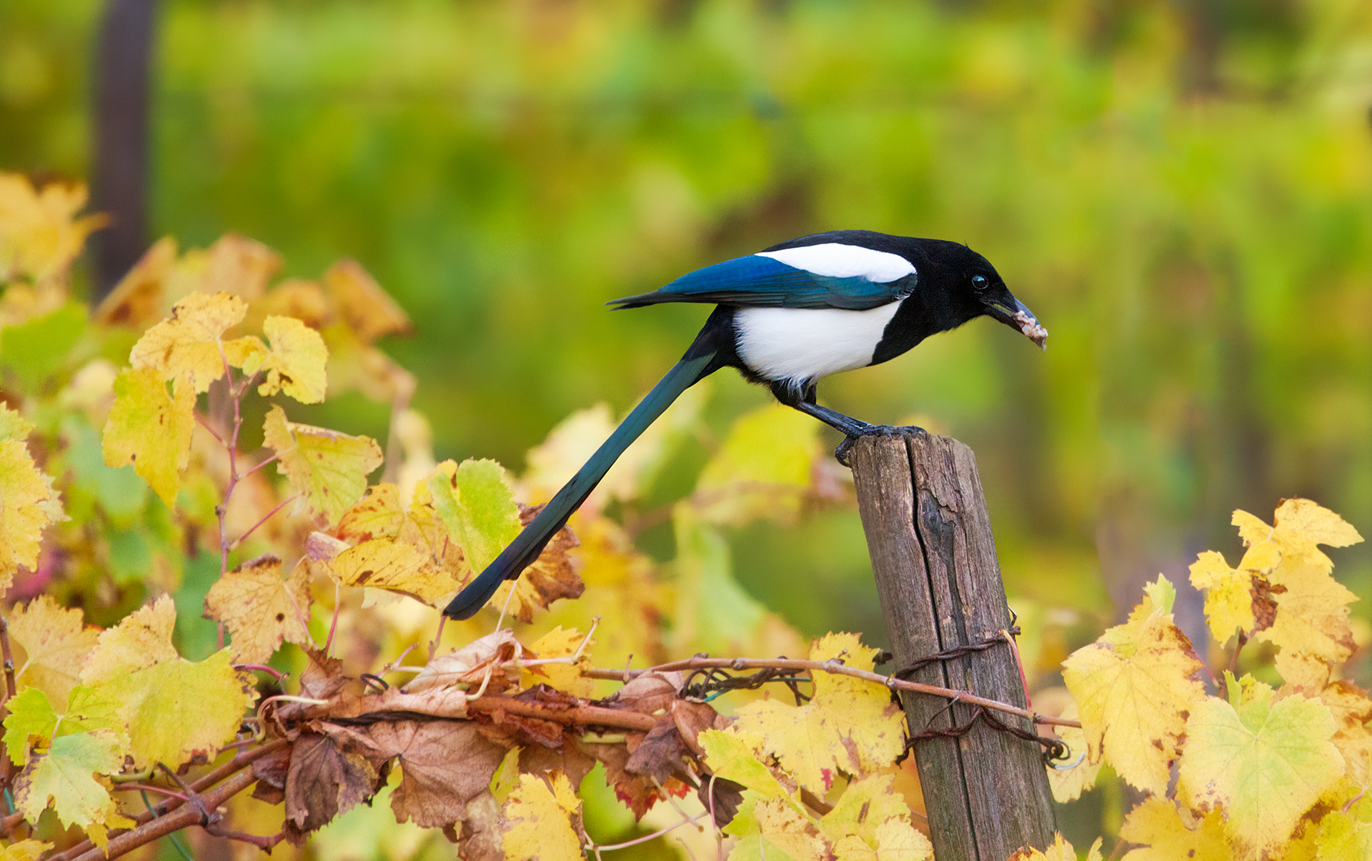 Magpie on rows...