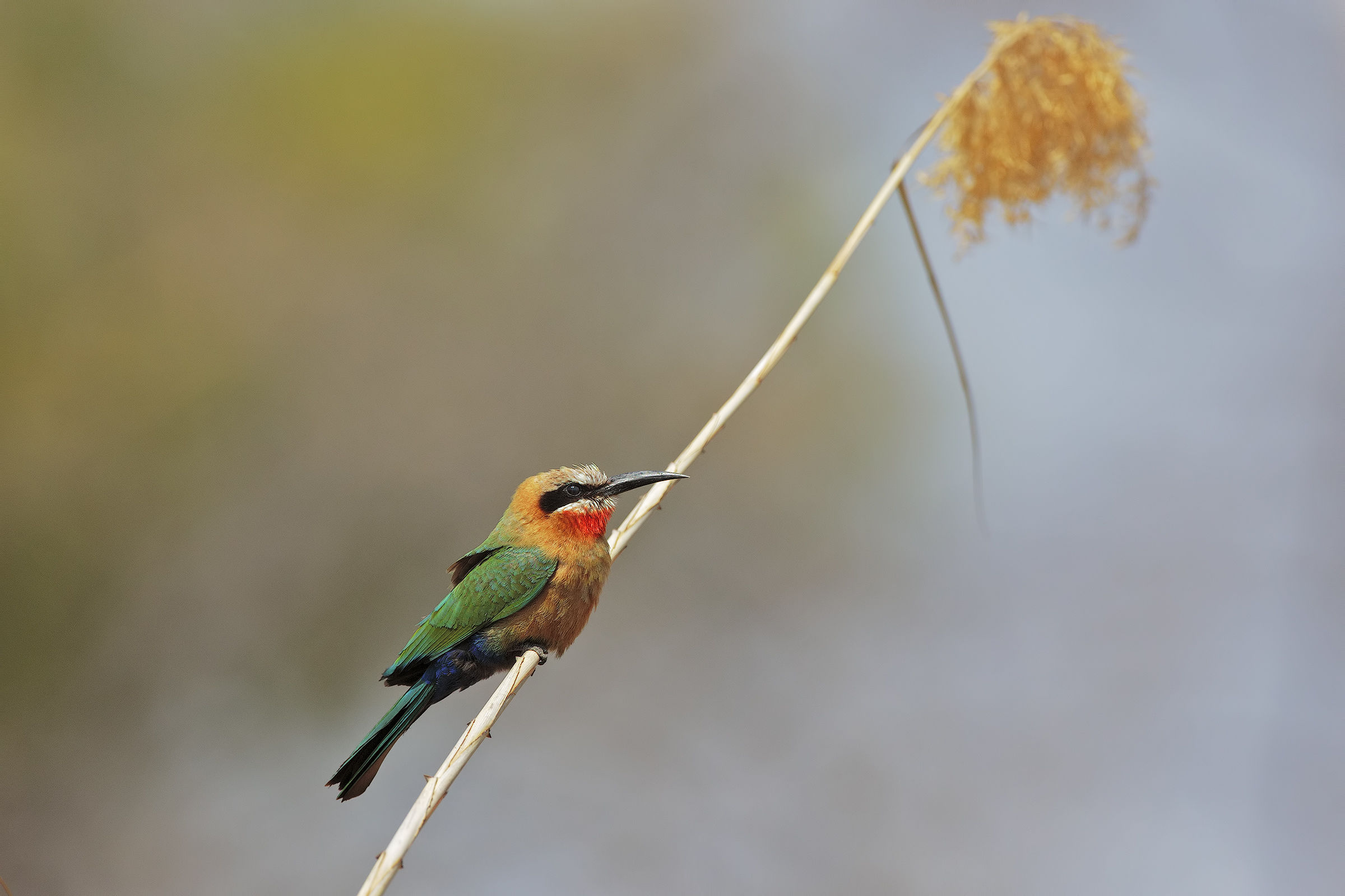 Fronted Bee-Eater...