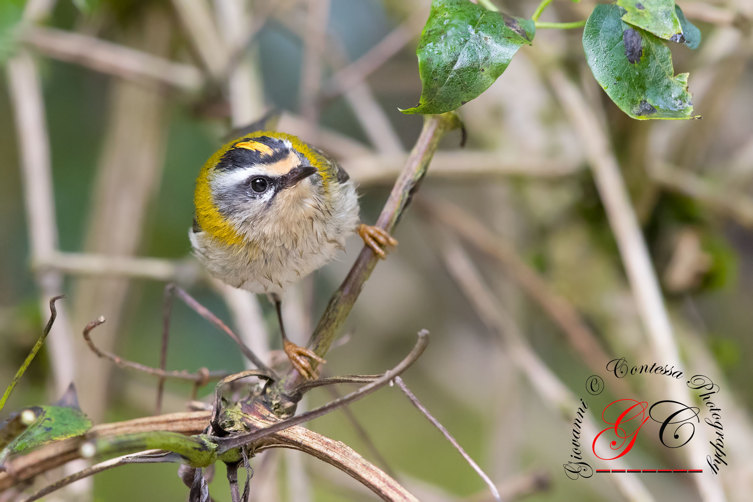 Firecrest after the bath...